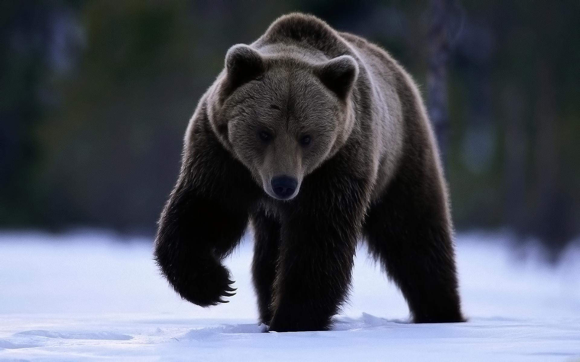 39311 Заставки и Обои Медведи на телефон. Скачать Медведи, Животные картинки бесплатно