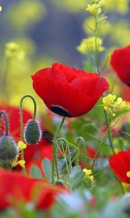 31564 descargar fondo de pantalla Plantas, Flores, Amapolas: protectores de pantalla e imágenes gratis