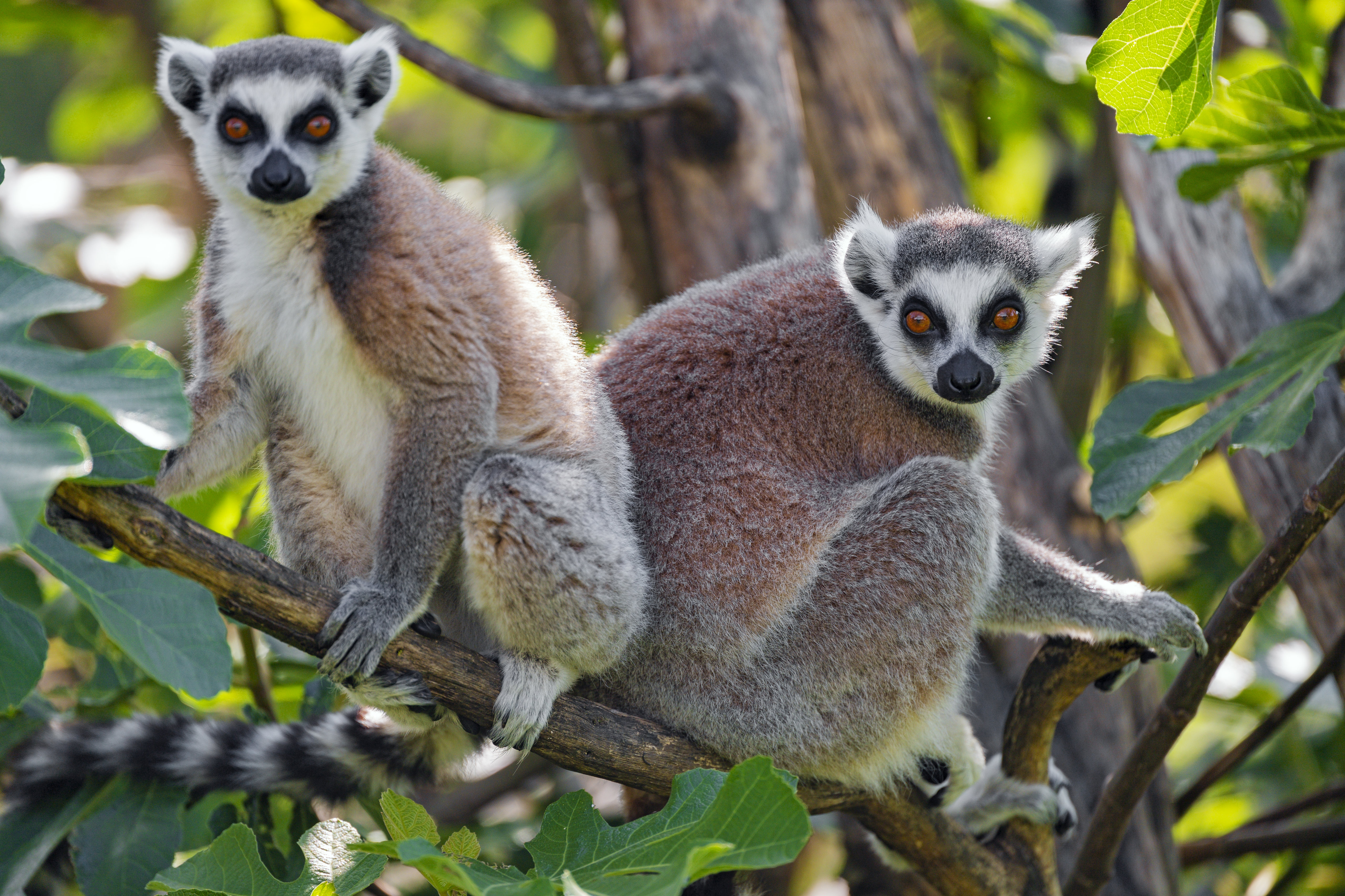 149487 download wallpaper Animals, Lemur, Animal, Sight, Opinion, Wood, Tree screensavers and pictures for free