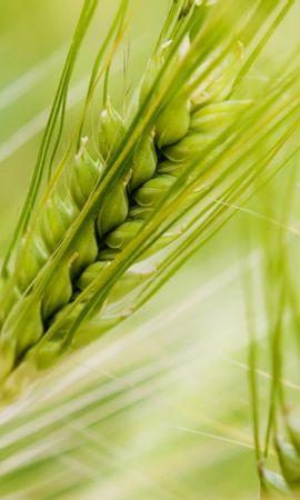 42413 скачать обои Объекты, Пшеница - заставки и картинки бесплатно