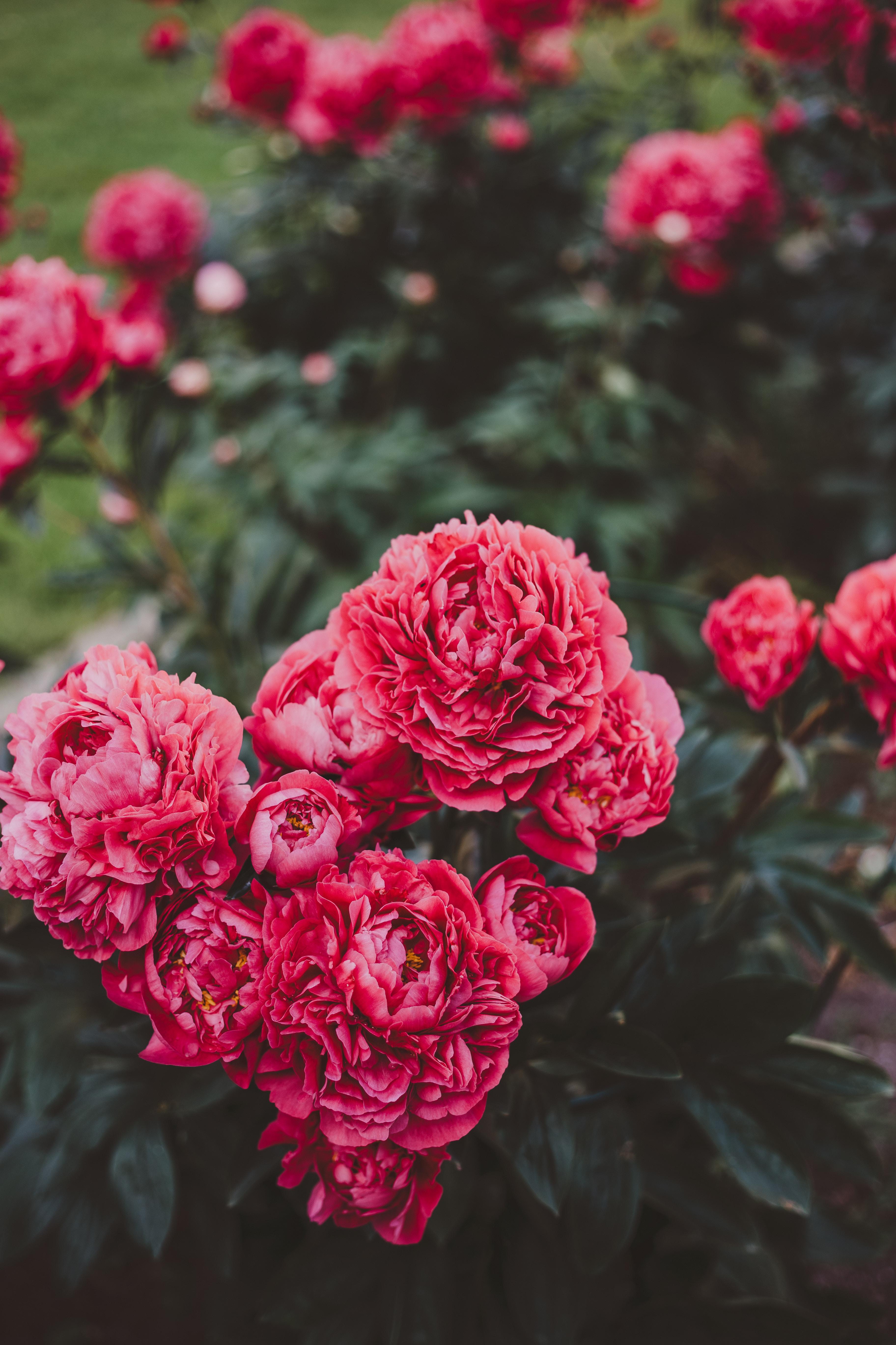 107556 скачать обои Пионы, Цветение, Цветы, Растение, Розовый - заставки и картинки бесплатно