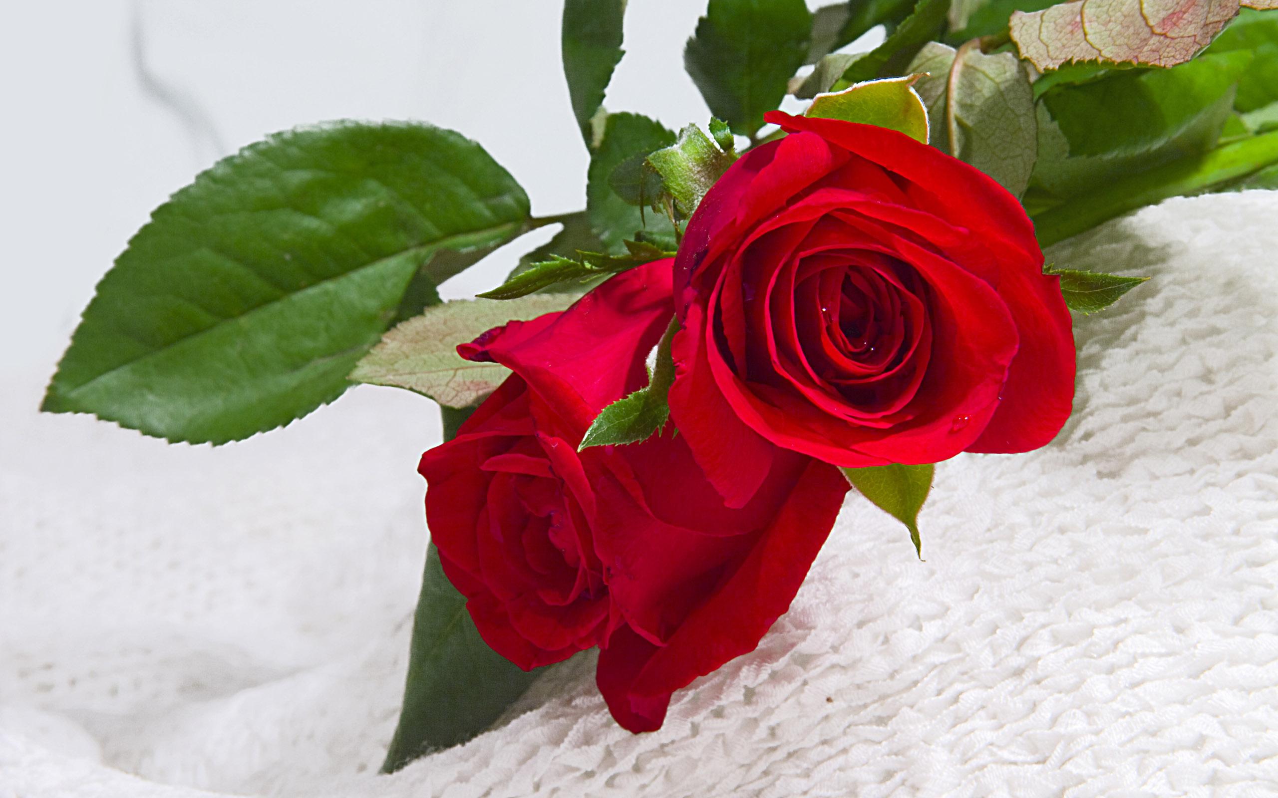 46555 скачать обои Растения, Цветы, Розы - заставки и картинки бесплатно