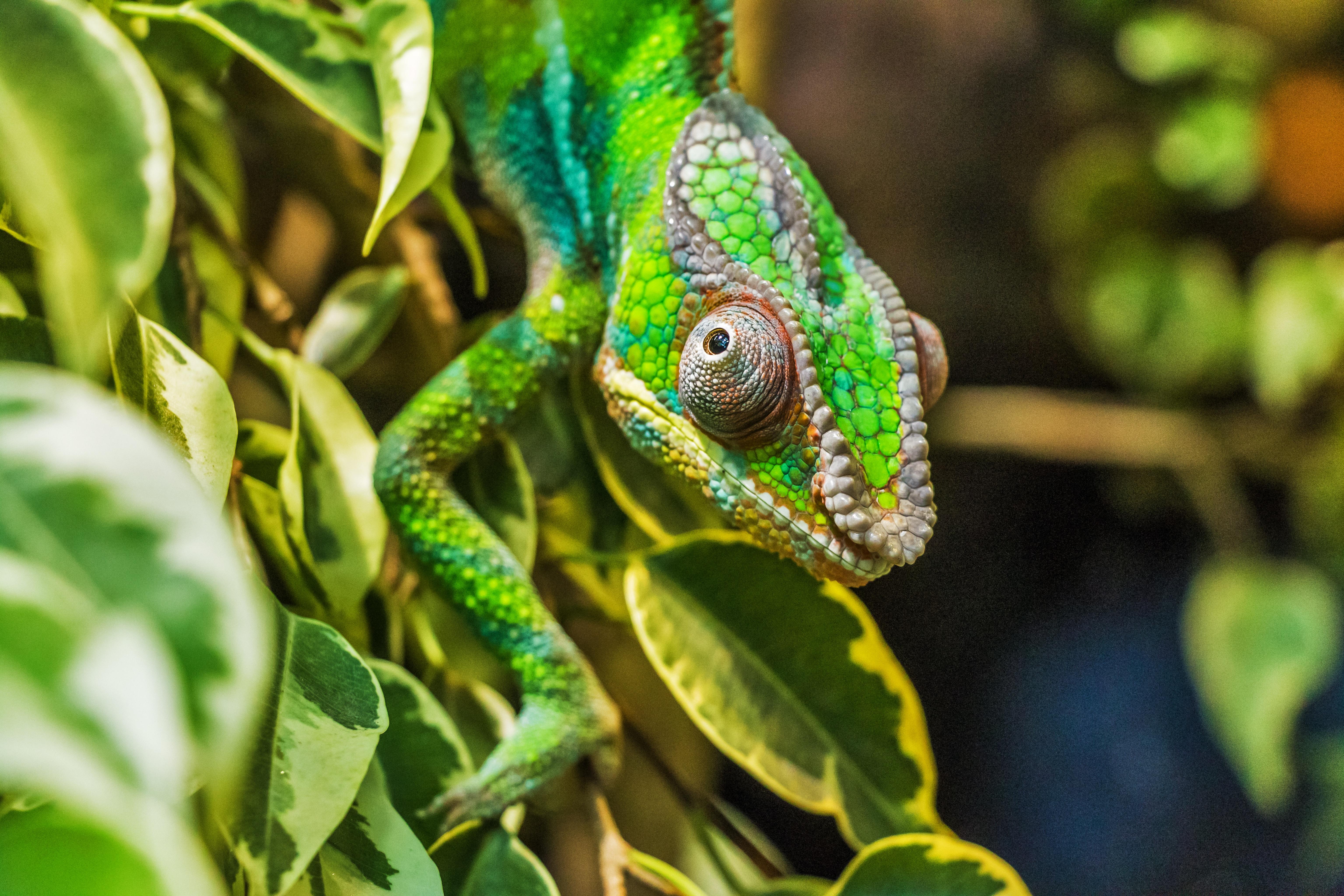 78027 descargar fondo de pantalla Animales, Camaleón, Color, Ocultar, Camuflaje, Reptil: protectores de pantalla e imágenes gratis