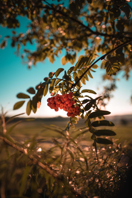 75496 скачать обои Природа, Ягоды, Растение, Ветка, Гроздь, Рябина - заставки и картинки бесплатно