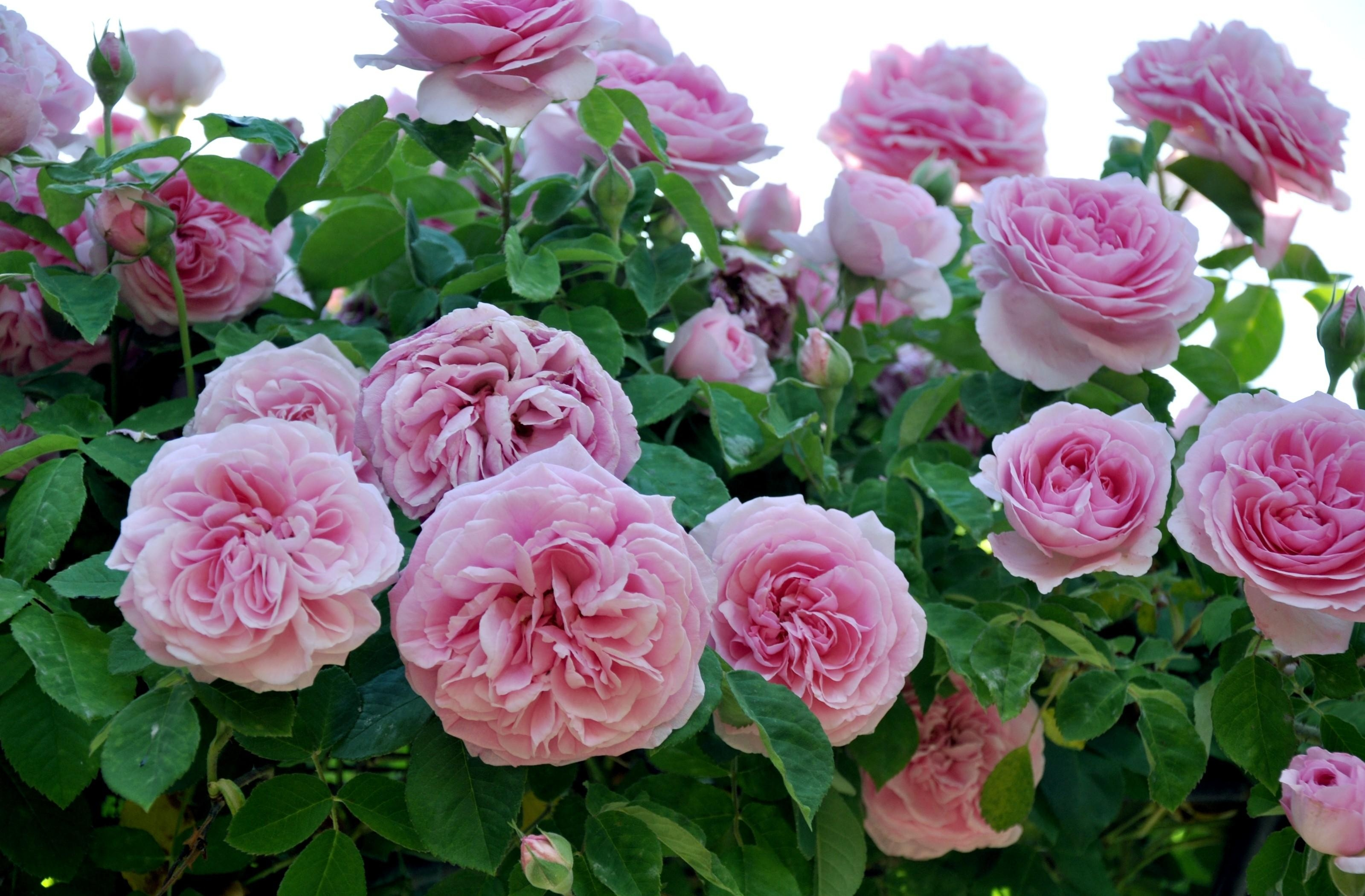 145286 download wallpaper Flowers, Roses, Pink, Close-Up, Garden screensavers and pictures for free