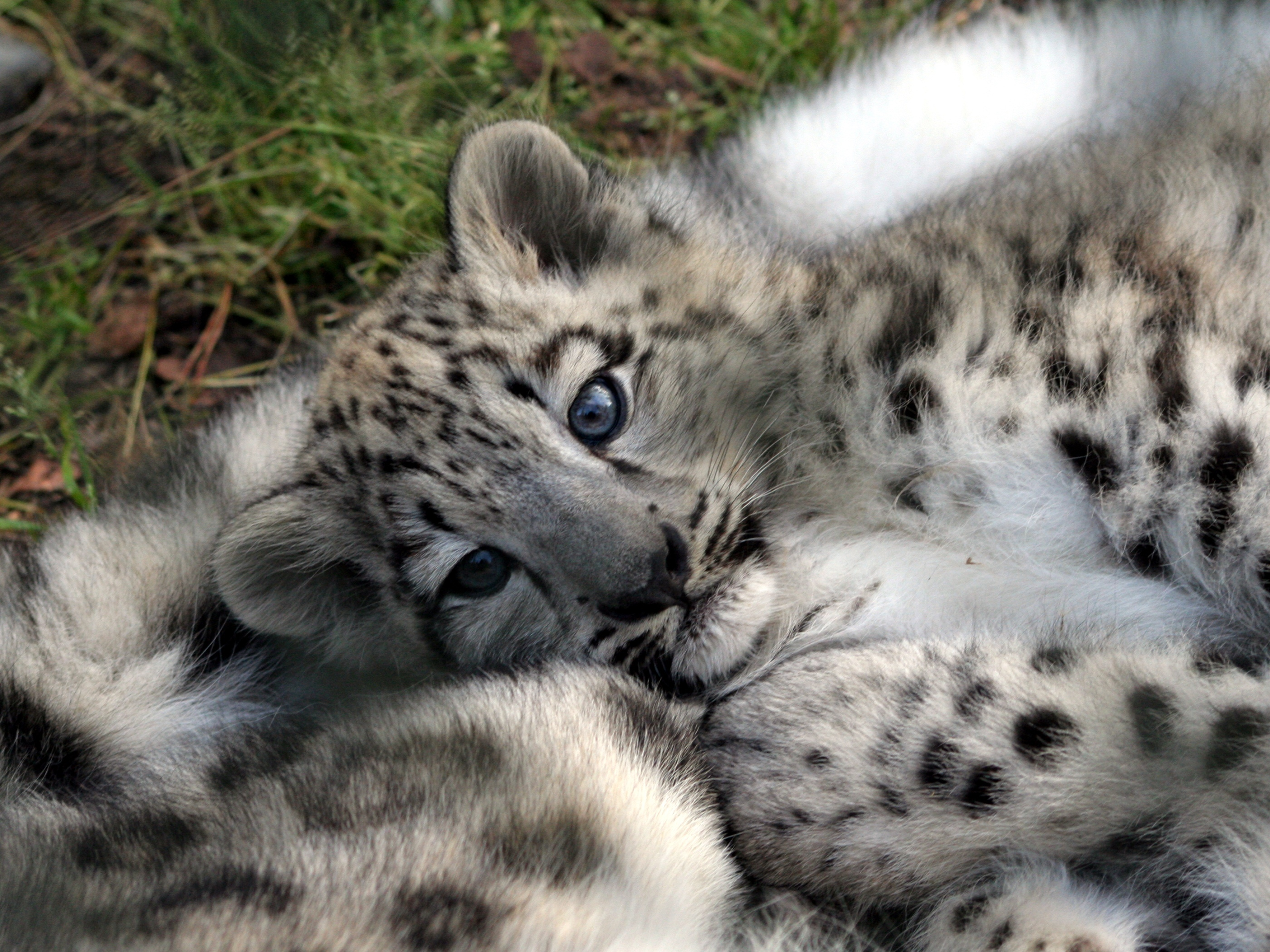 6492 download wallpaper Animals, Snow Leopard screensavers and pictures for free
