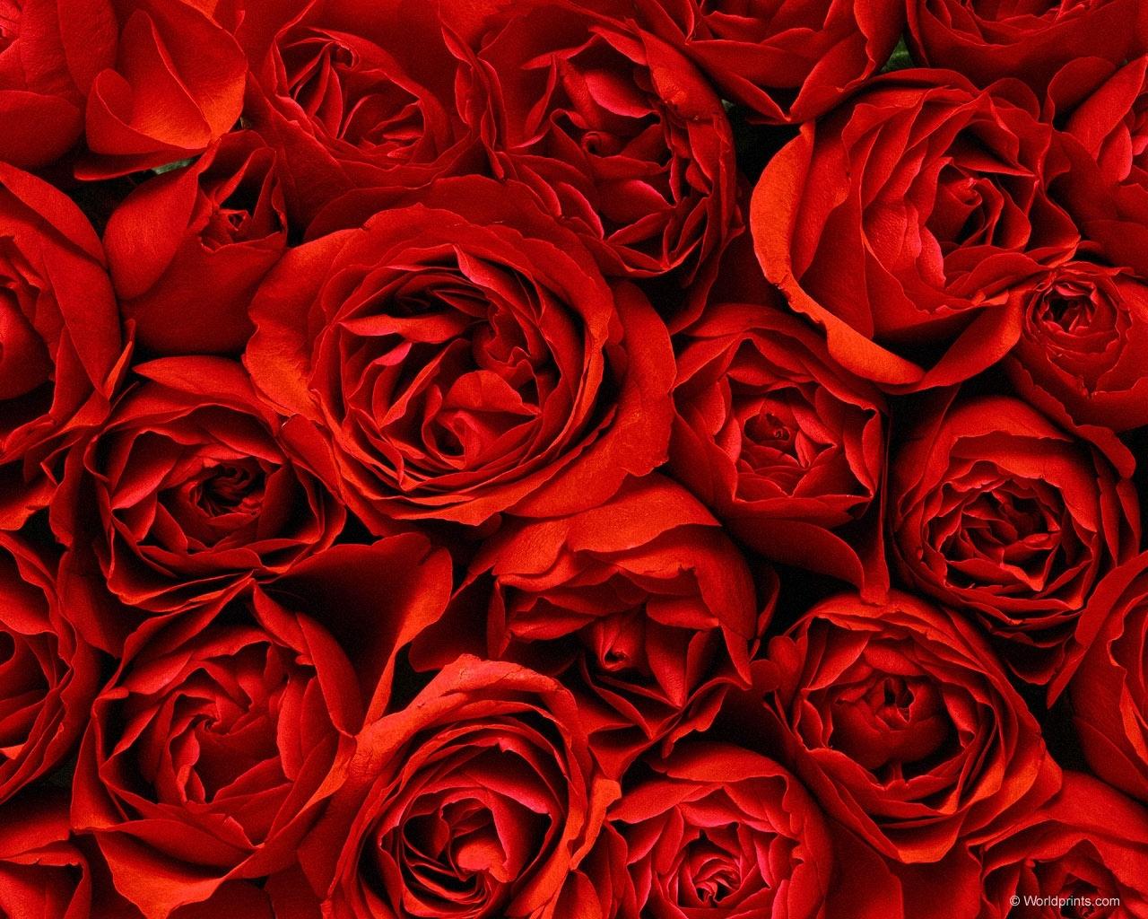 10599 descargar fondo de pantalla Plantas, Flores, Fondo, Roses: protectores de pantalla e imágenes gratis