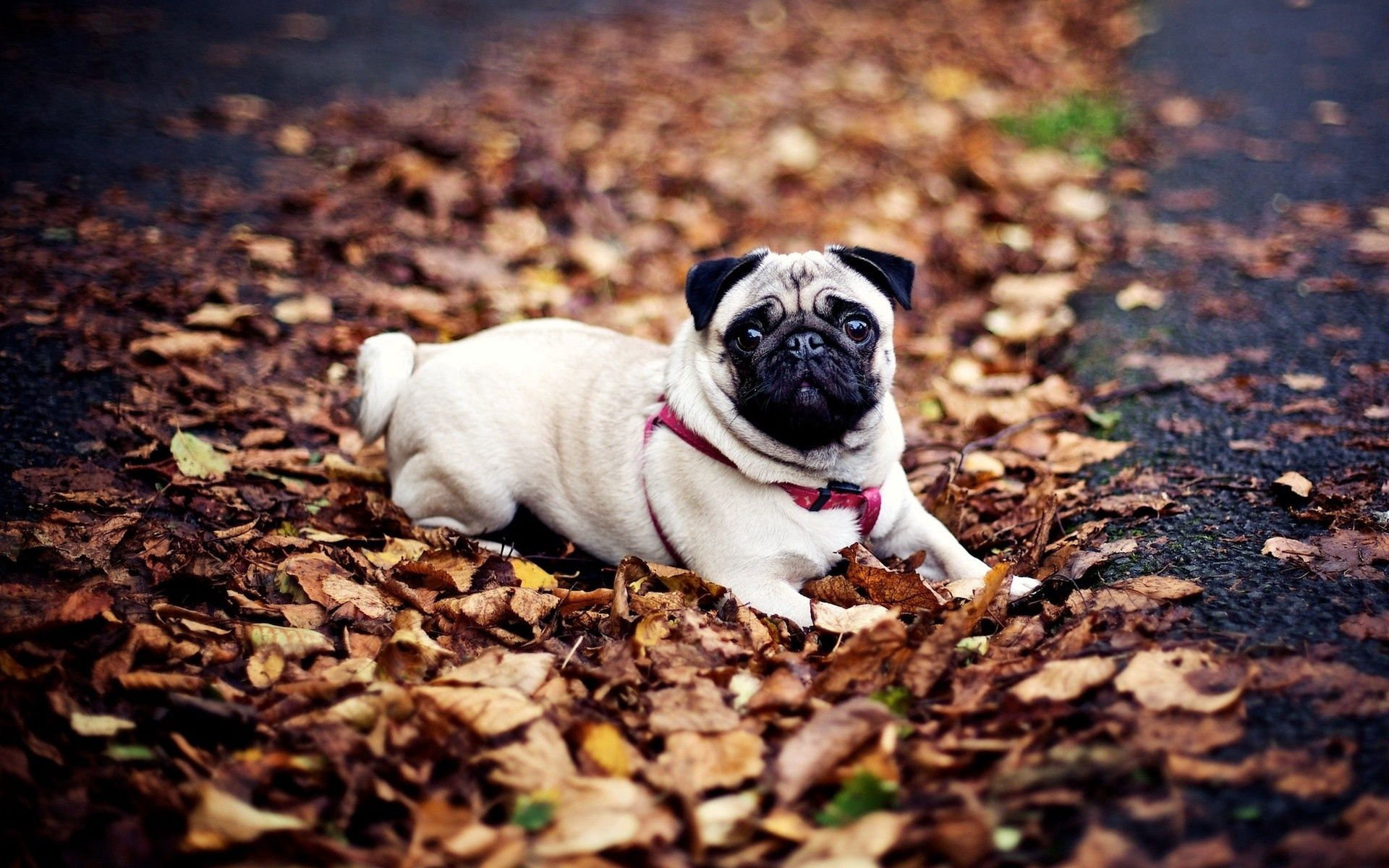 90430 Screensavers and Wallpapers Pug for phone. Download Animals, Autumn, To Lie Down, Lie, Dog, Leash, Foliage, Pug pictures for free