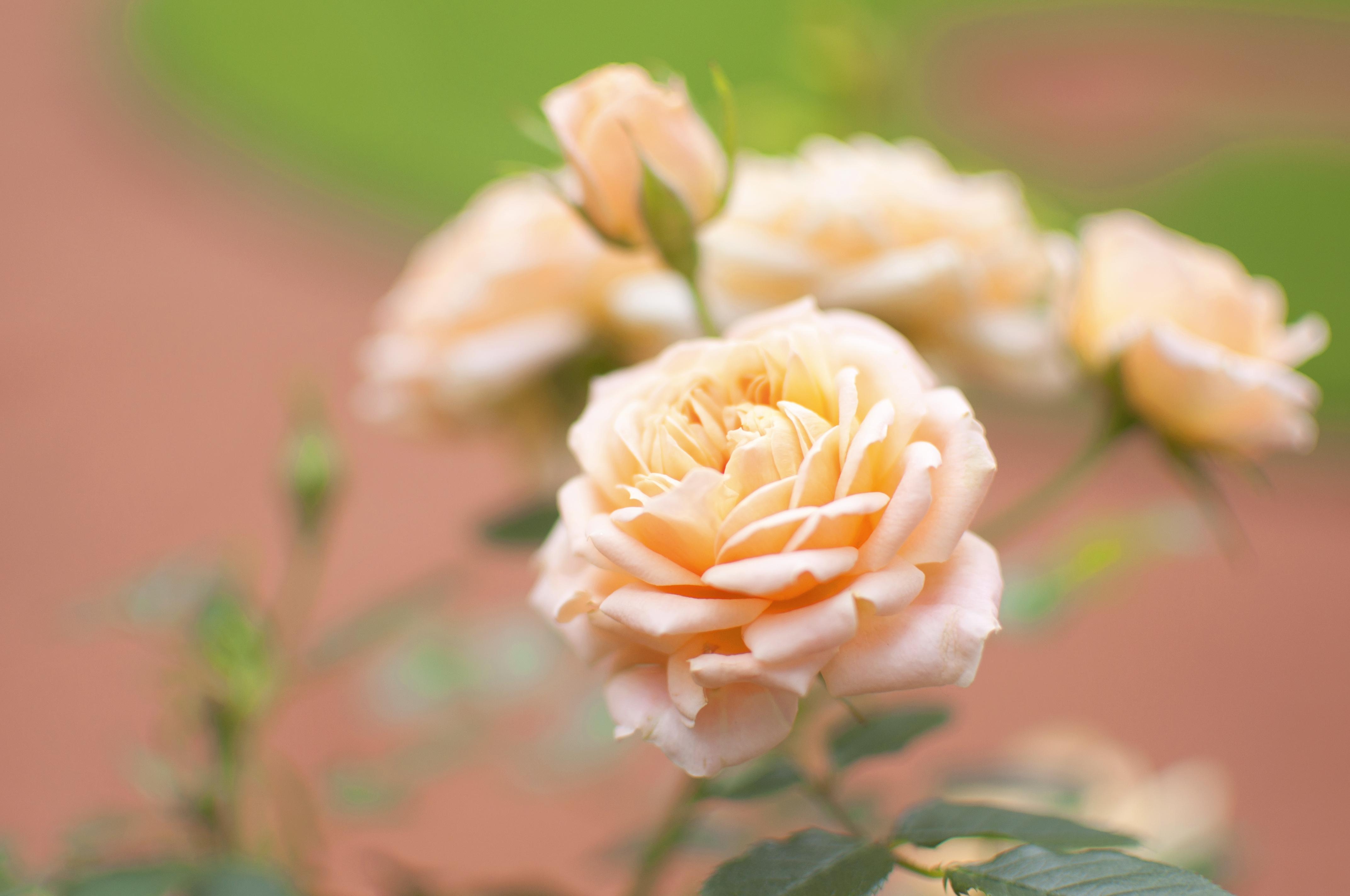 71076 Salvapantallas y fondos de pantalla Flores en tu teléfono. Descarga imágenes de Flores, Flor Rosa, Rosa, Flor, Brote, Yema, Macro, Borrosidad, Suave gratis