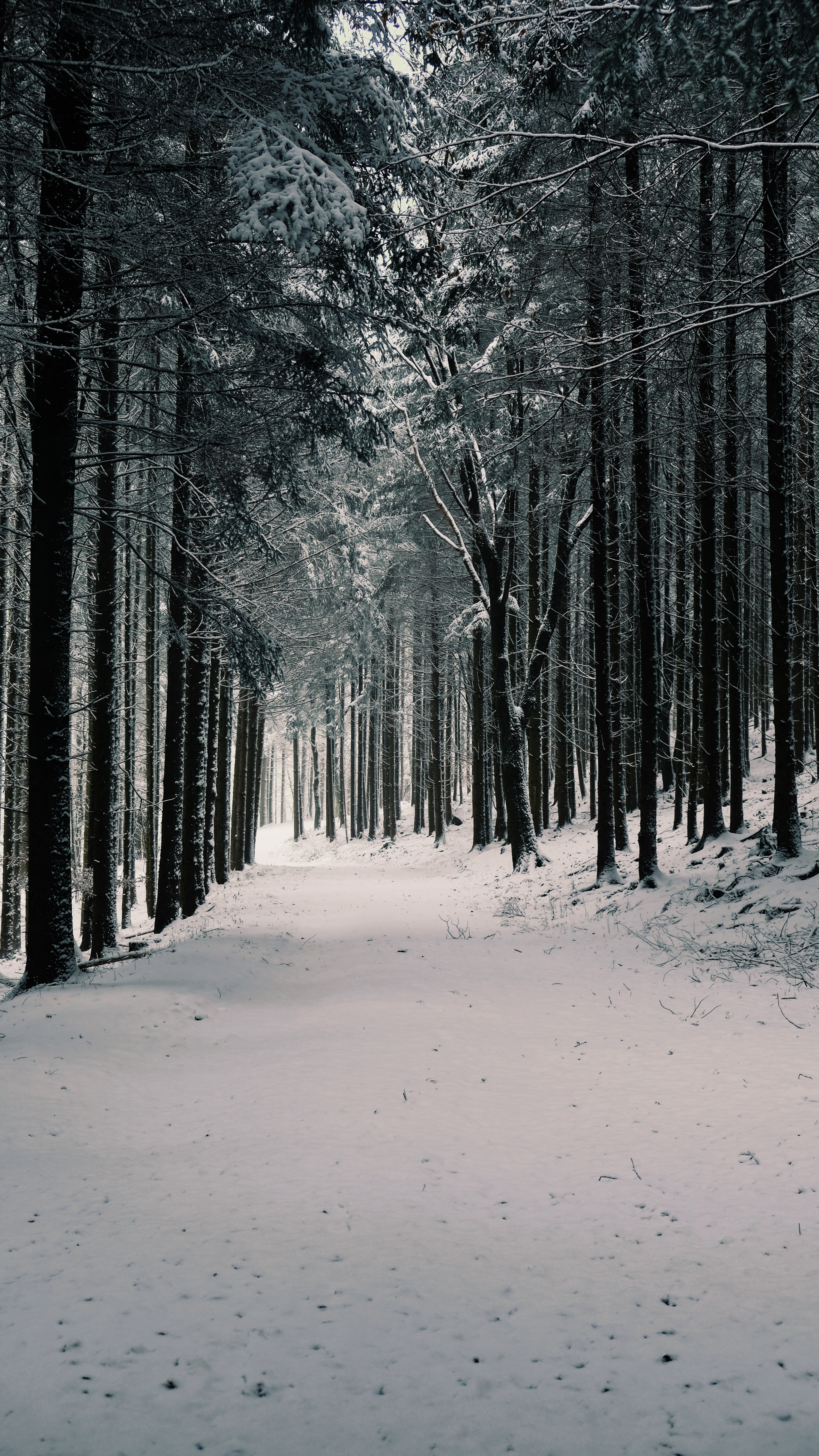 117796 download wallpaper Winter, Nature, Trees, Pine, Snow, Forest screensavers and pictures for free