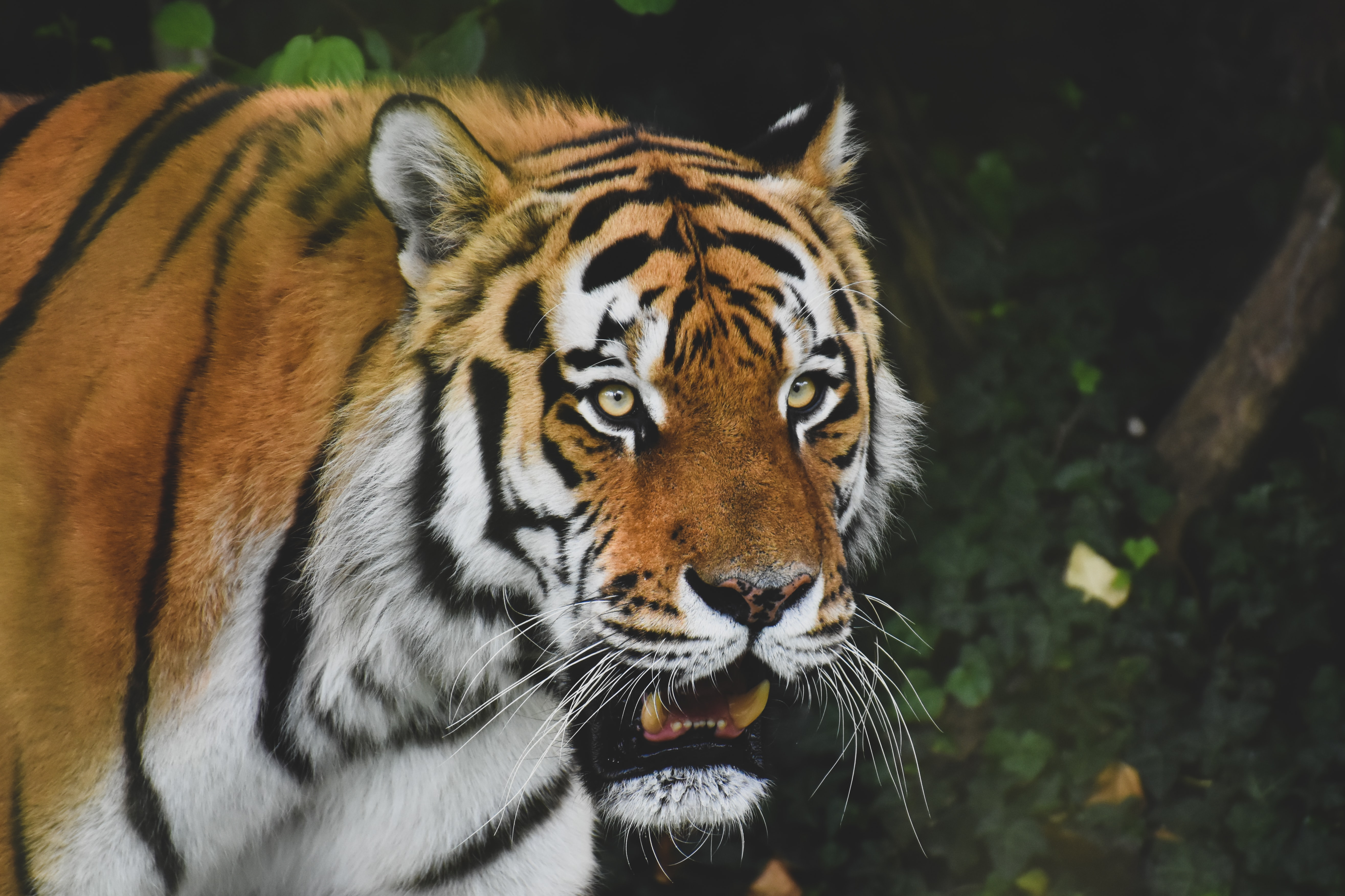 78716 download wallpaper Animals, Tiger, Predator, Animal, Sight, Opinion, Roar, Big Cat screensavers and pictures for free