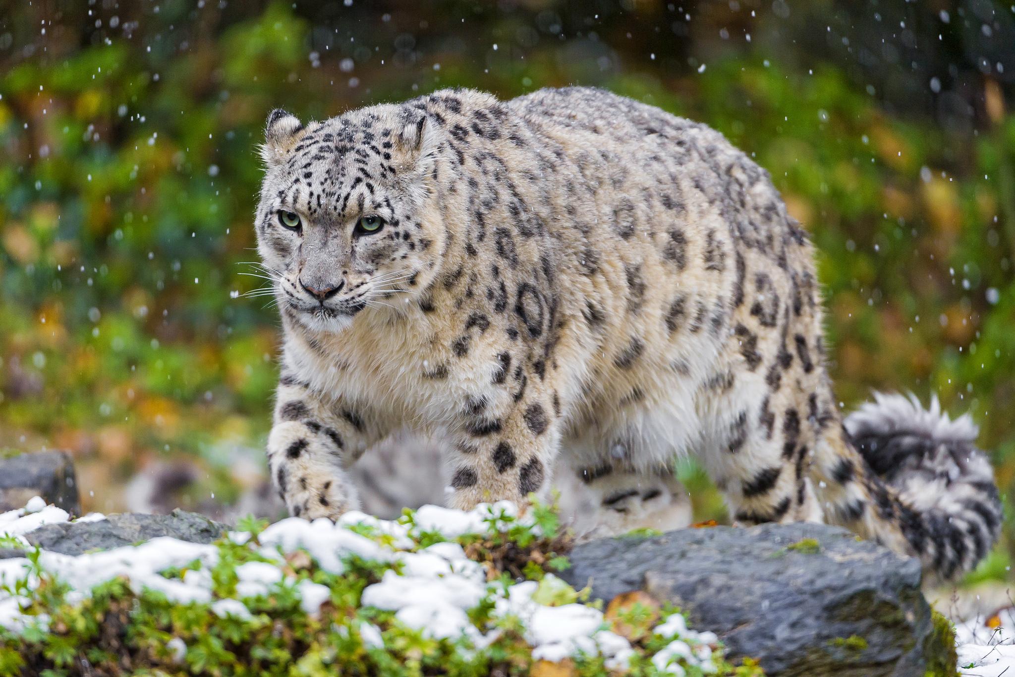 115011 Hintergrundbild herunterladen Tiere, Grass, Schneeleopard, Schnee, Katze, Raubtier, Predator, Irbis - Bildschirmschoner und Bilder kostenlos