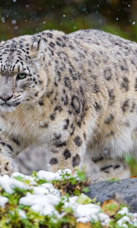 115011 download wallpaper Animals, Irbis, Cat, Predator, Snow, Grass, Snow Leopard screensavers and pictures for free