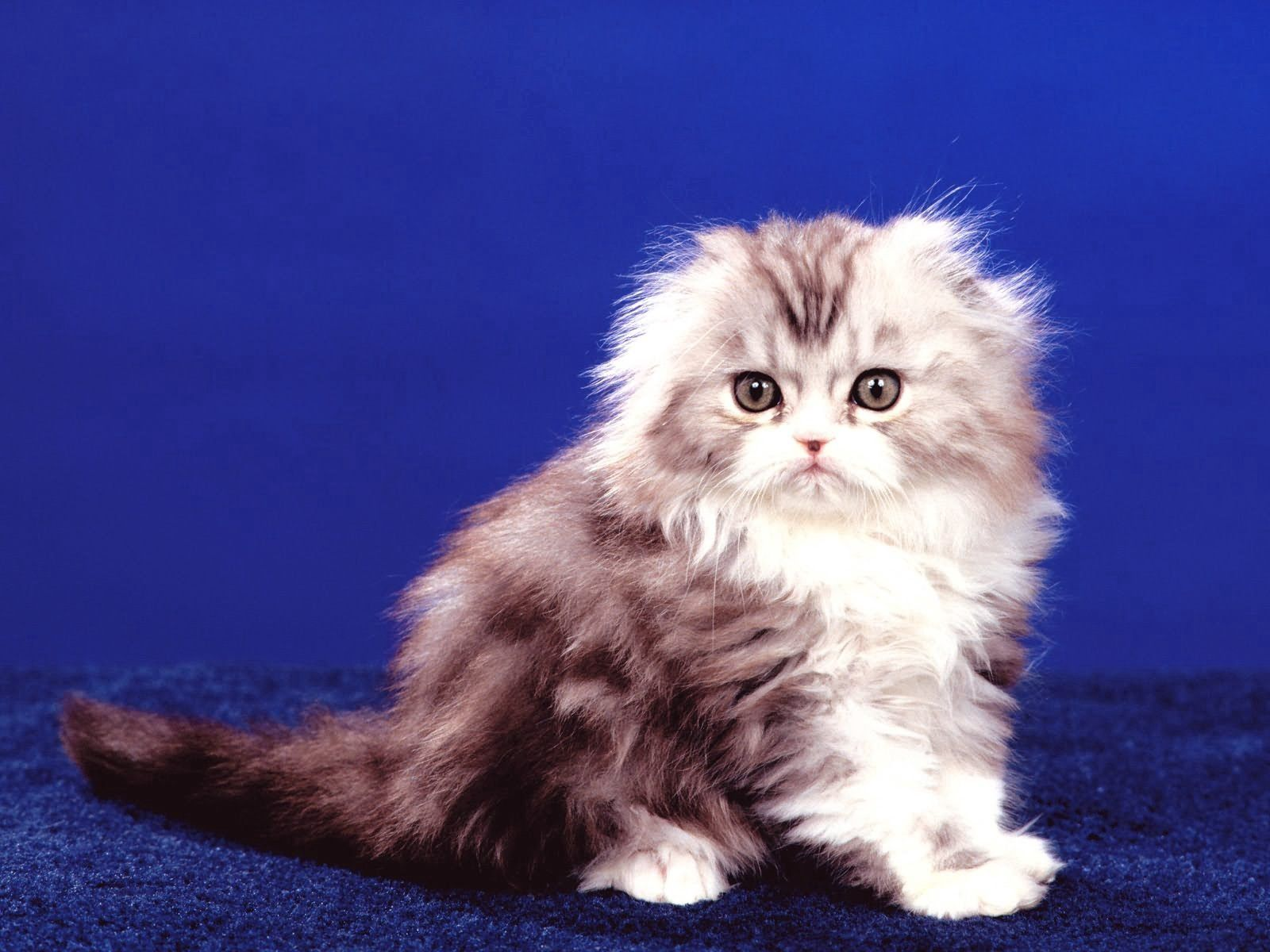 148059 Screensavers and Wallpapers Sit for phone. Download Animals, Sit, Fluffy, Kitty, Kitten pictures for free