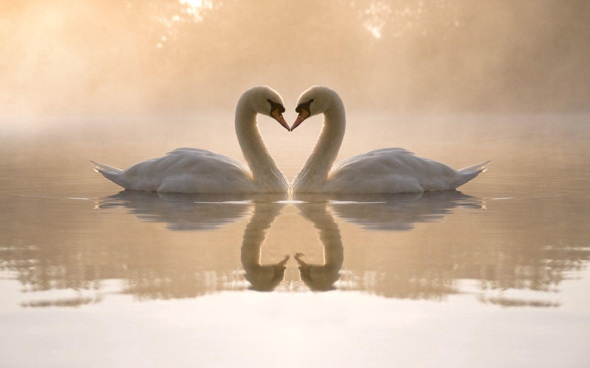 136200 Hintergrundbild herunterladen Herzen, Swans, Liebe, See, Ein Herz - Bildschirmschoner und Bilder kostenlos