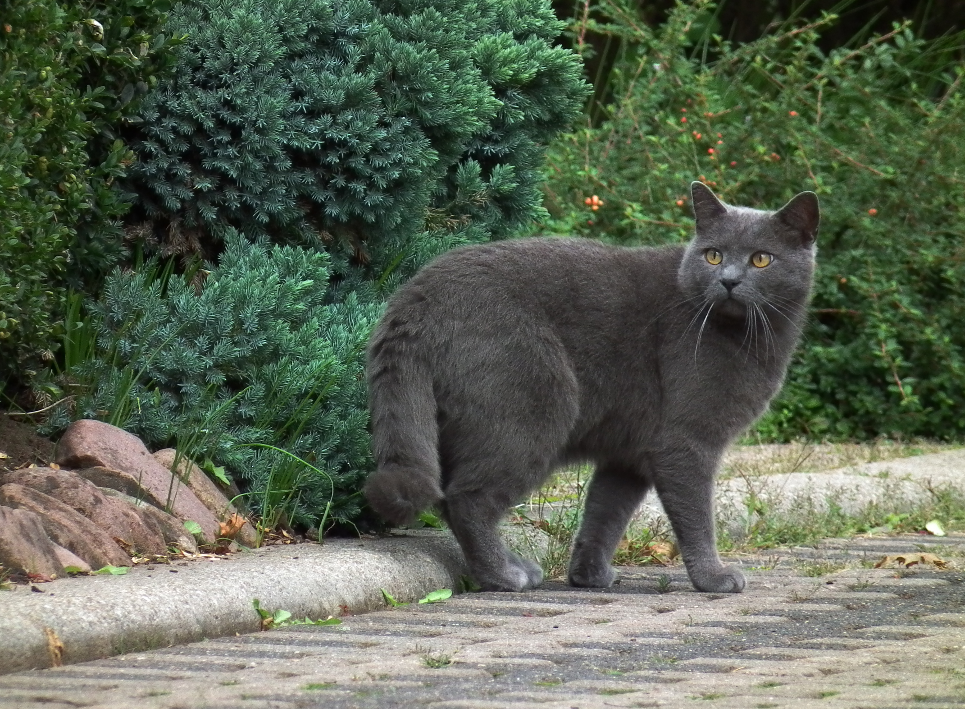 107943 download wallpaper Animals, Chartreuse, Cat, Breed, Grey, Stroll screensavers and pictures for free