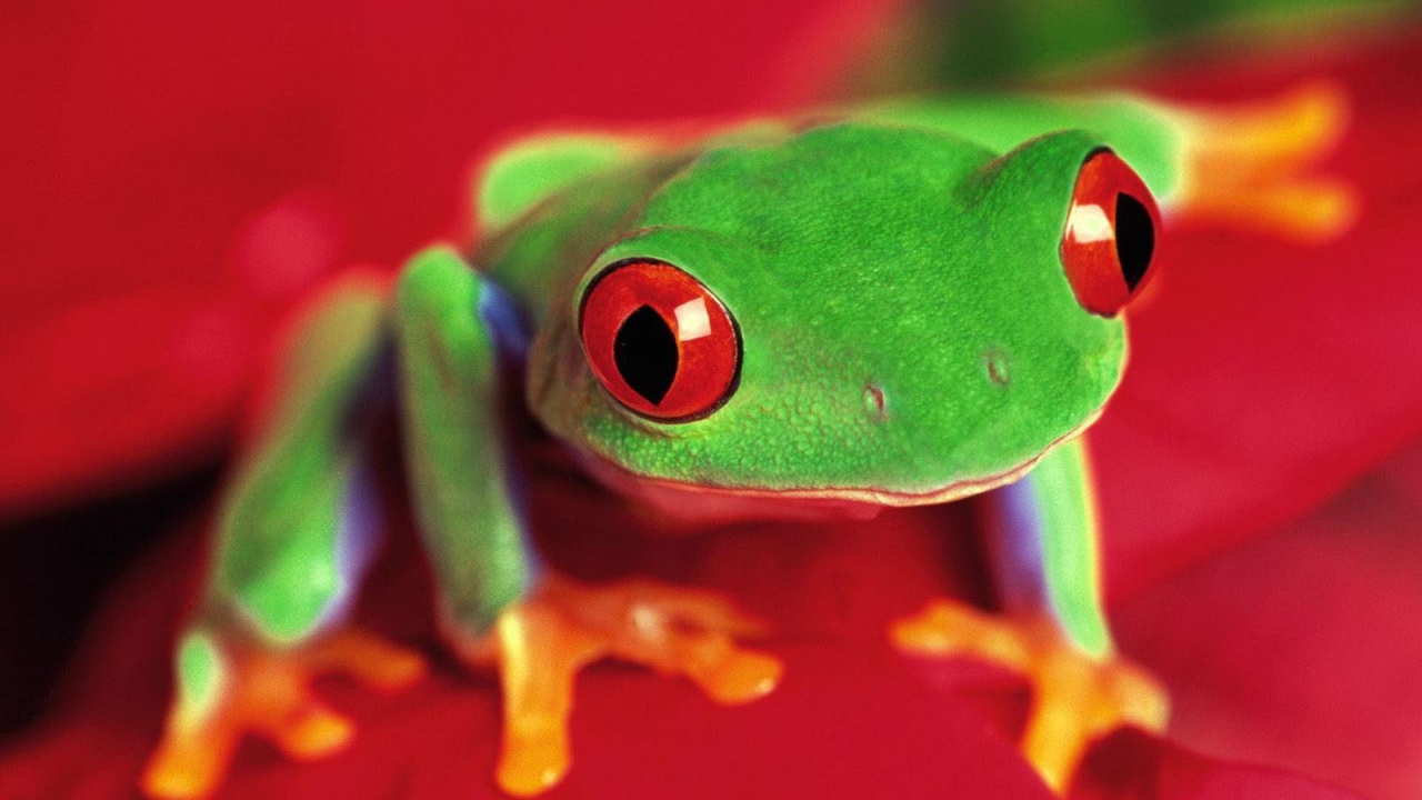 35872 download wallpaper Animals, Frogs screensavers and pictures for free