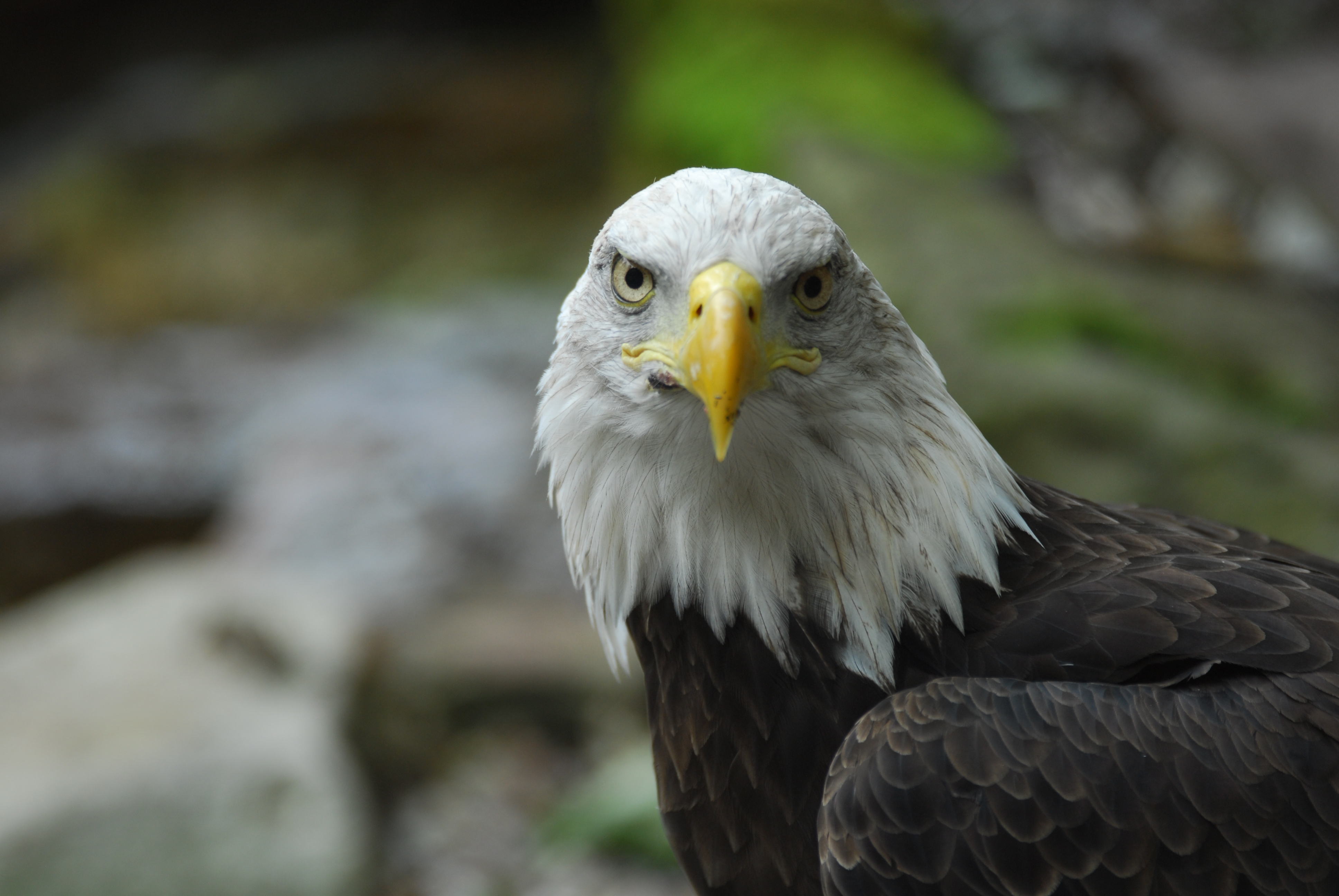 83347 download wallpaper Animals, Bald Eagle, White-Headed Eagle, Eagle, Bird, Predator, Beak, Feather screensavers and pictures for free