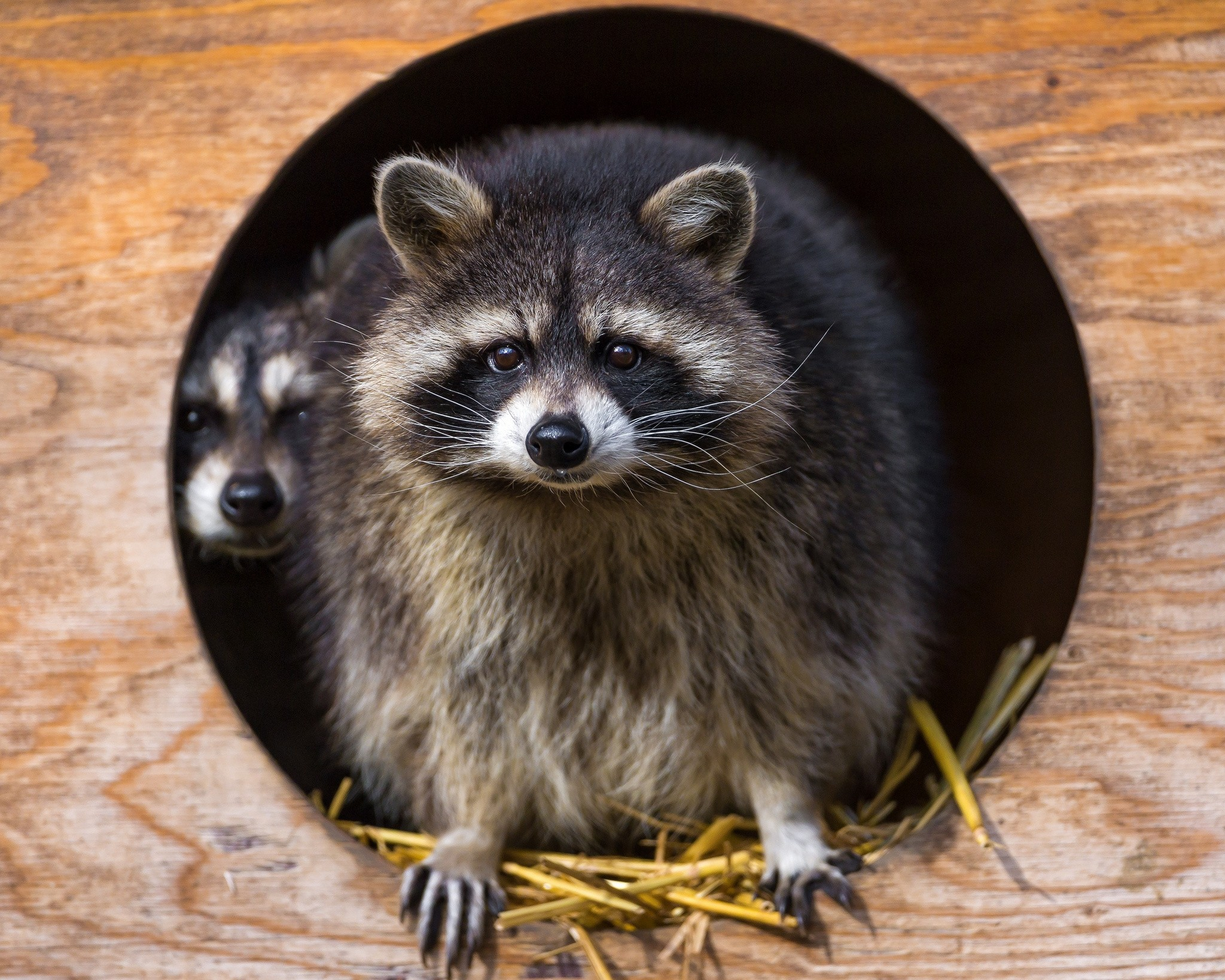 91385 Screensavers and Wallpapers Raccoon for phone. Download Animals, Grass, Couple, Pair, Striped, Beast, Raccoon pictures for free