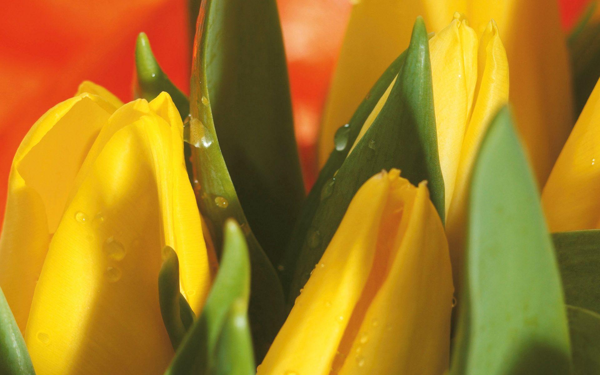 133145 скачать обои Макро, Листья, Букет, Капли, Цветы, Тюльпаны - заставки и картинки бесплатно