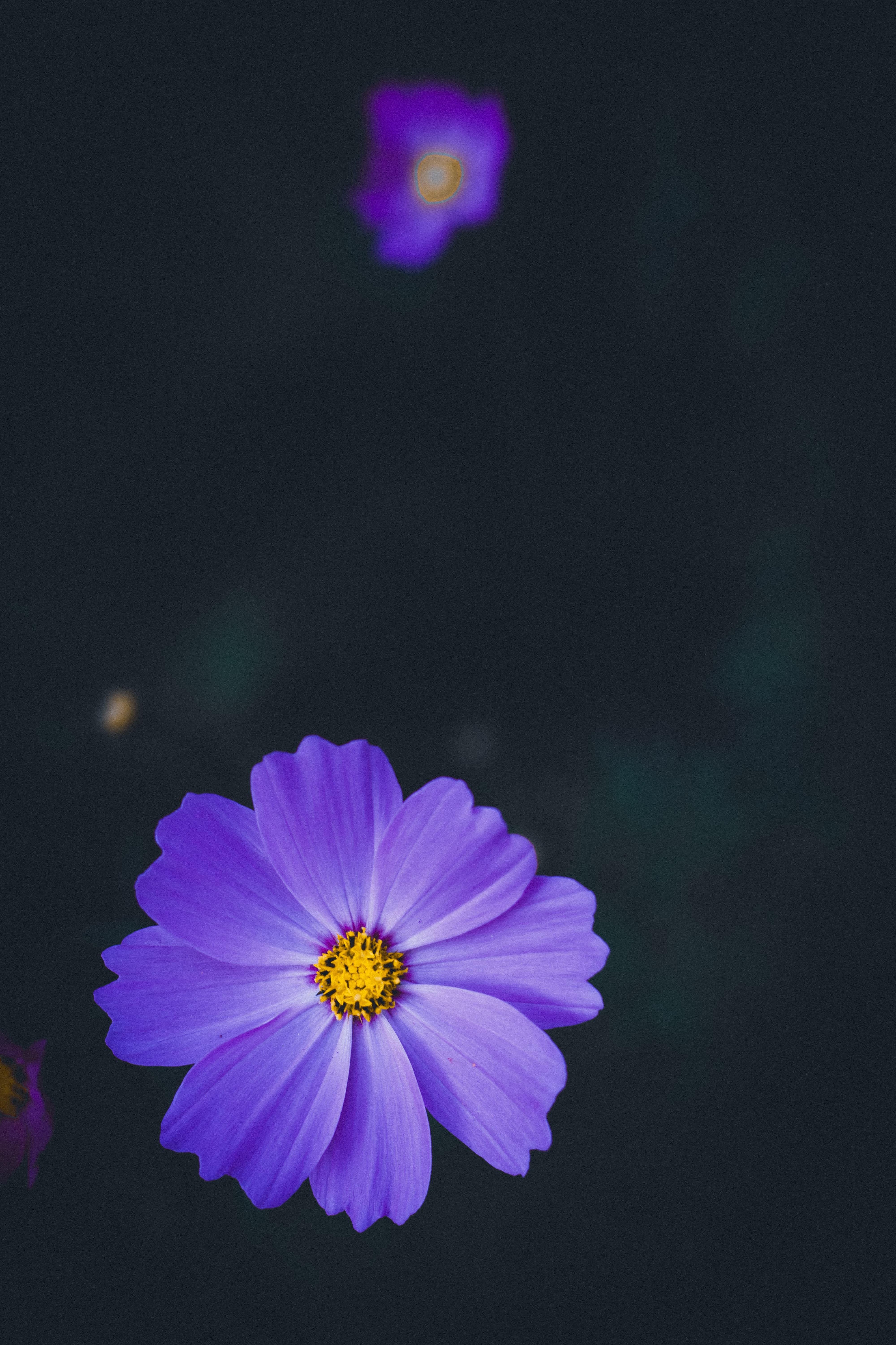59572 download wallpaper Macro, Flowers, Lilac, Flower, Blur, Smooth, Kosmeya, Cosmos screensavers and pictures for free