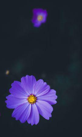 59572 télécharger le fond d'écran Fleurs, Kosmeya, Cosmos, Lilas, Fleur, Macro, Flou, Lisse - économiseurs d'écran et images gratuitement