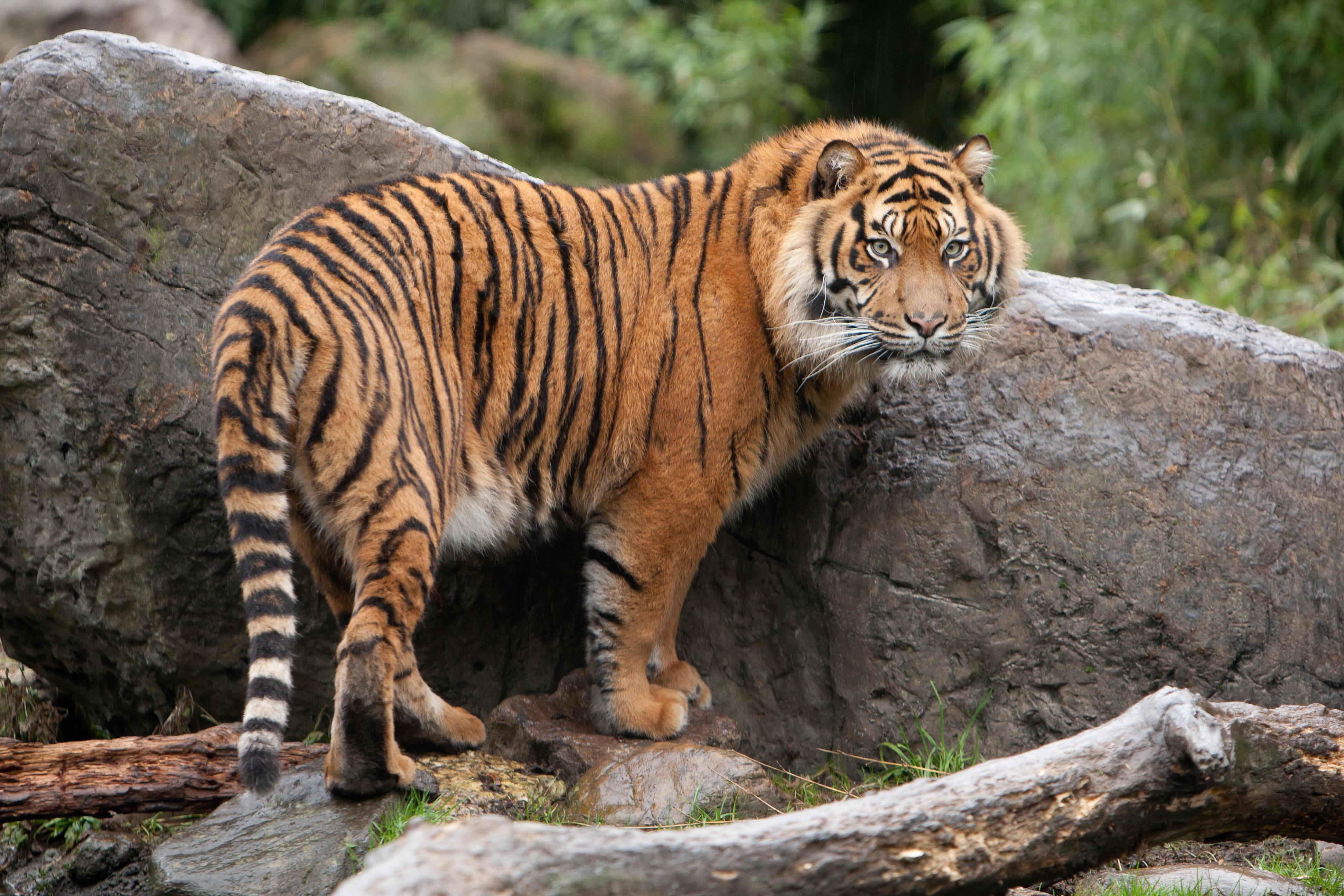 87949 скачать обои Животные, Тигр, Прогулка, Камни, Листья, Трава - заставки и картинки бесплатно