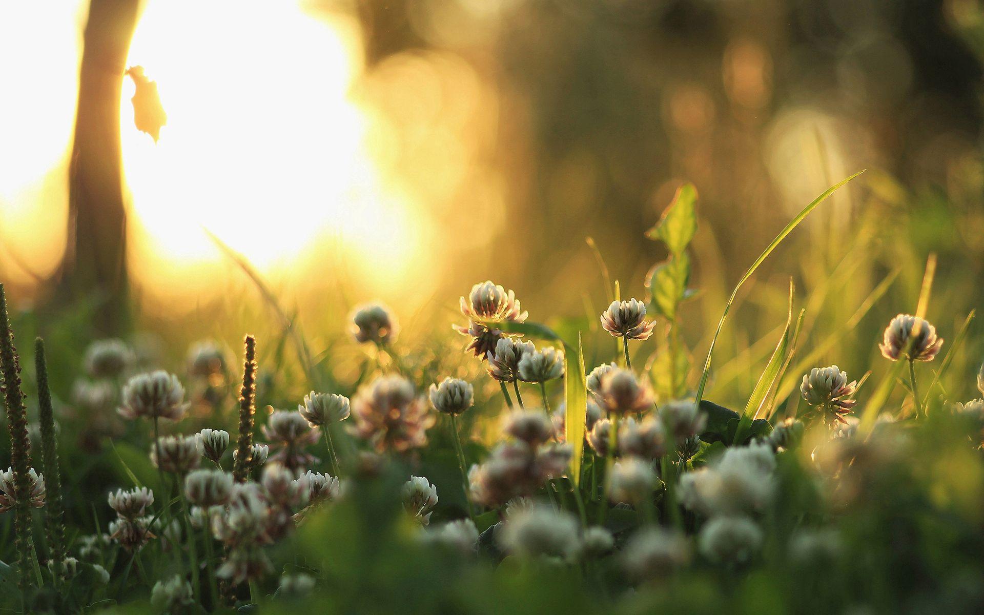 56529 télécharger le fond d'écran Plantes, Nature, Herbe, Macro, Briller, Lumière, Matin, Trèfle - économiseurs d'écran et images gratuitement