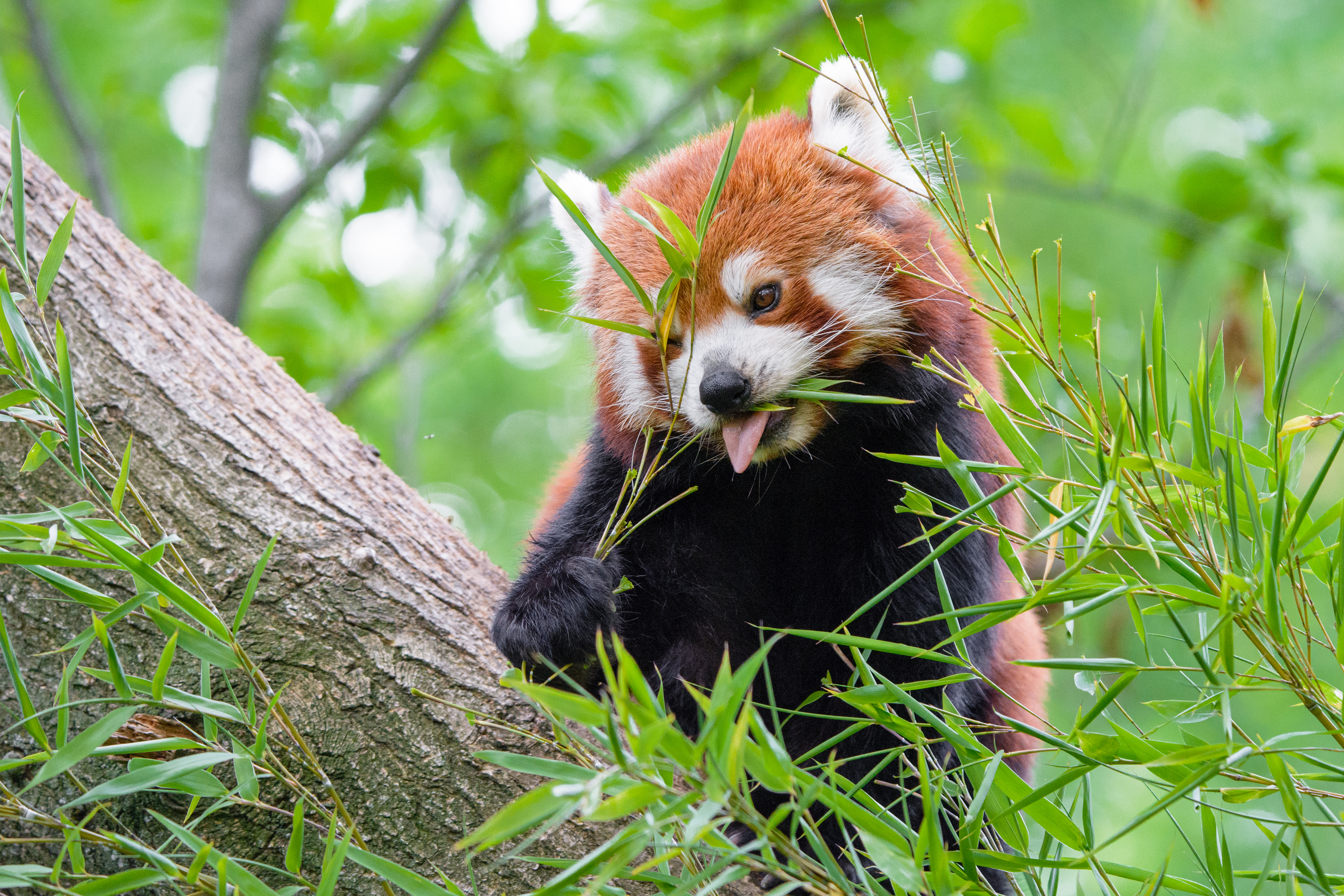 82510 Screensavers and Wallpapers Protruding Tongue for phone. Download Animals, Red Panda, Fiery Panda, Protruding Tongue, Tongue Stuck Out, Food pictures for free