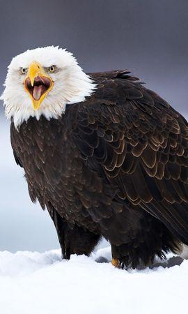 33393 baixar papel de parede Animais, Aves, Eagles - protetores de tela e imagens gratuitamente