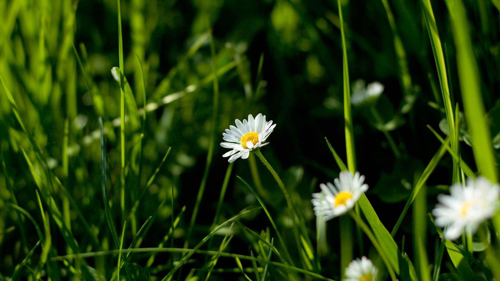 145284 Заставки и Обои Ромашки на телефон. Скачать Цветы, Трава, Ромашки, Растение, Макро картинки бесплатно