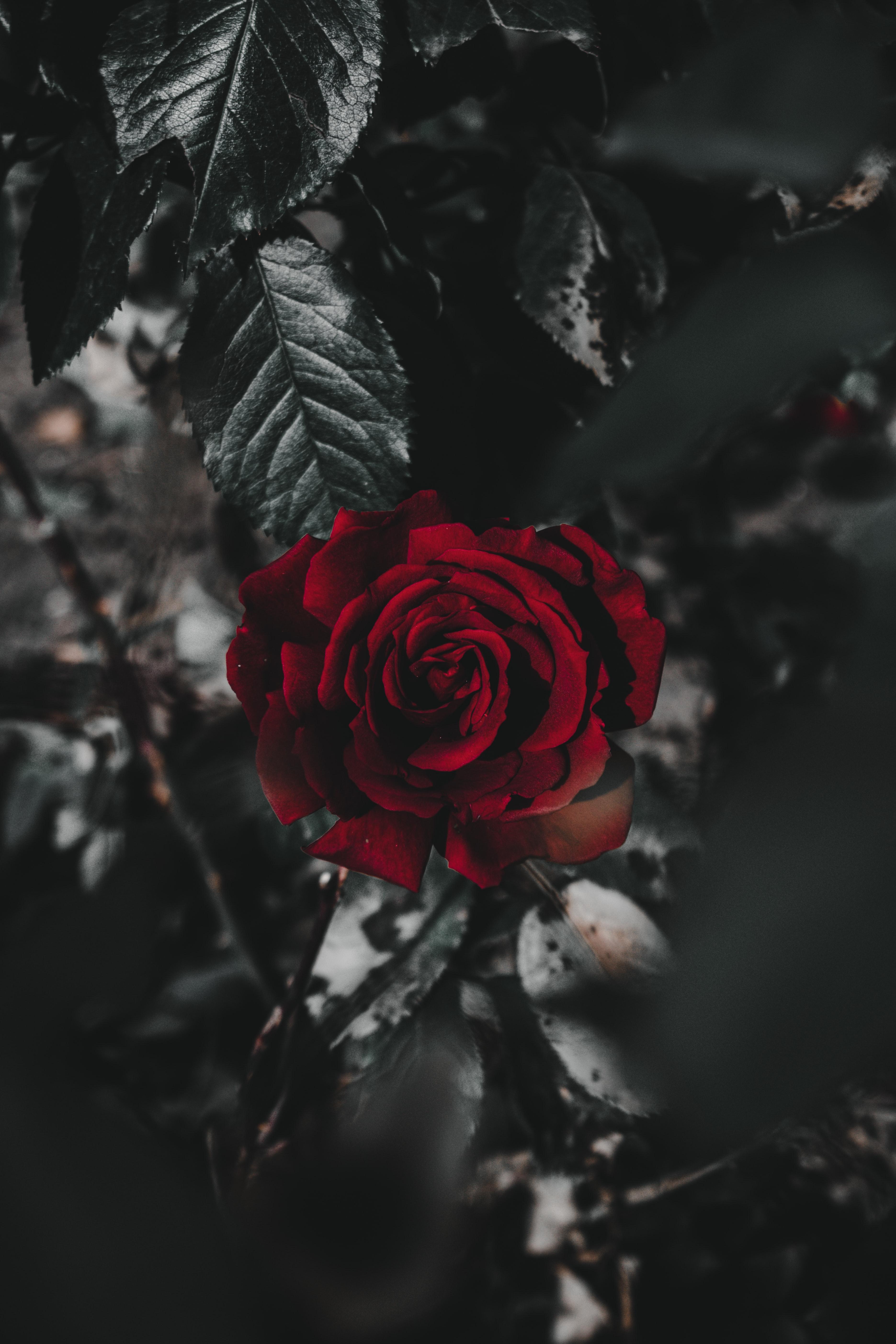 113831 скачать обои Цветы, Цветок, Растение, Роза, Красный, Крупным Планом - заставки и картинки бесплатно