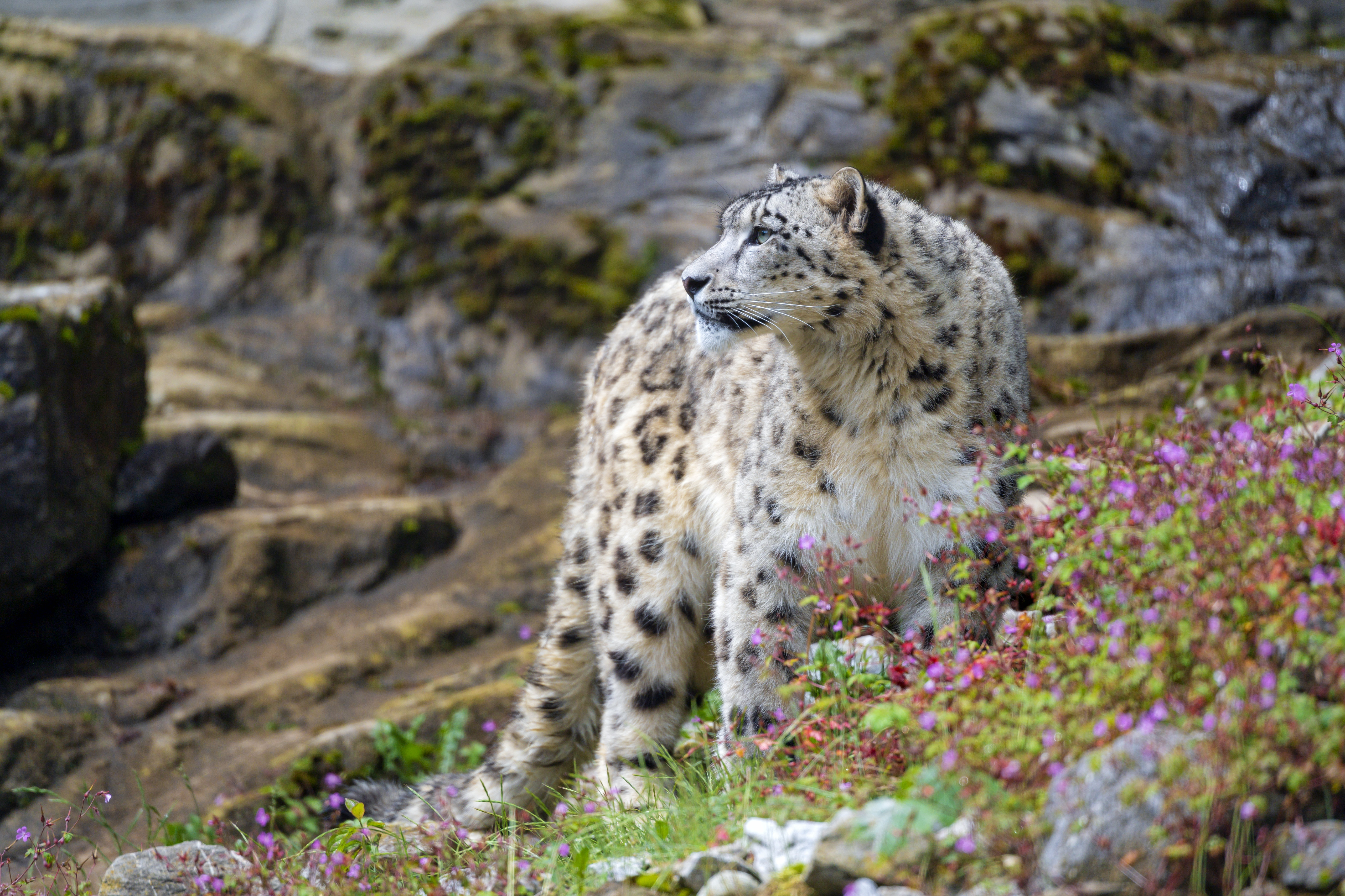 144306 download wallpaper Animals, Big Cat, Predator, Rocks, Flowers, Snow Leopard screensavers and pictures for free