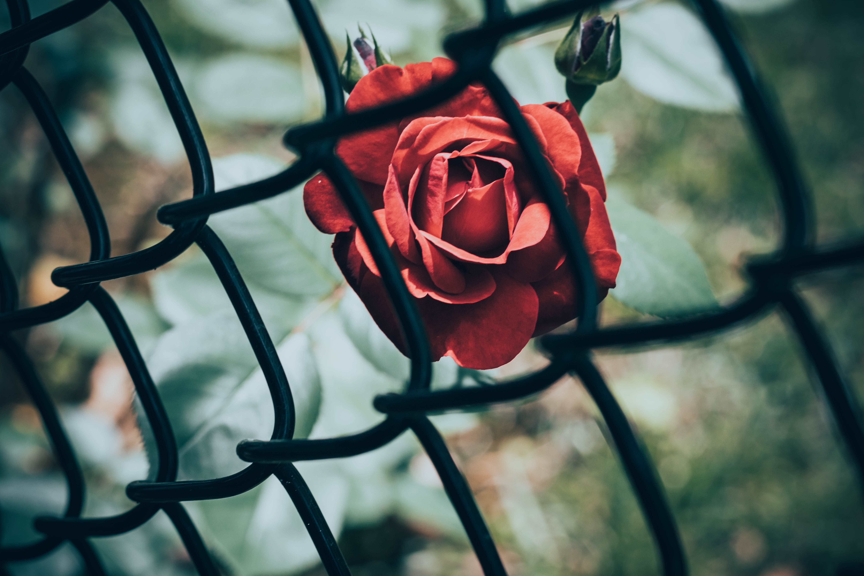 135509 télécharger le fond d'écran Fleurs, Une Rose, Rose, Fleur, Grille - économiseurs d'écran et images gratuitement