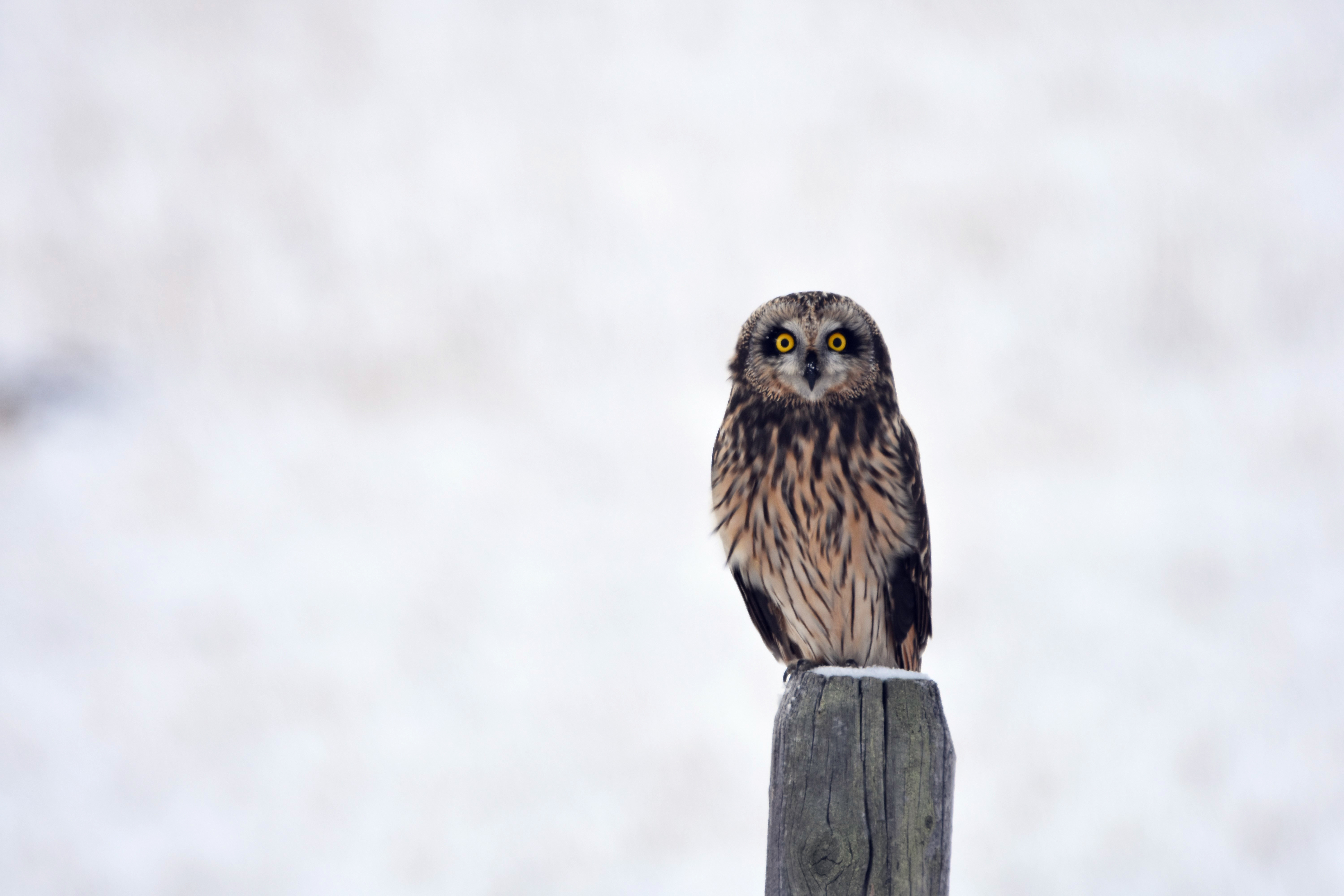 136134 download wallpaper Animals, Owl, Bird, Predator, Sight, Opinion, Stump screensavers and pictures for free