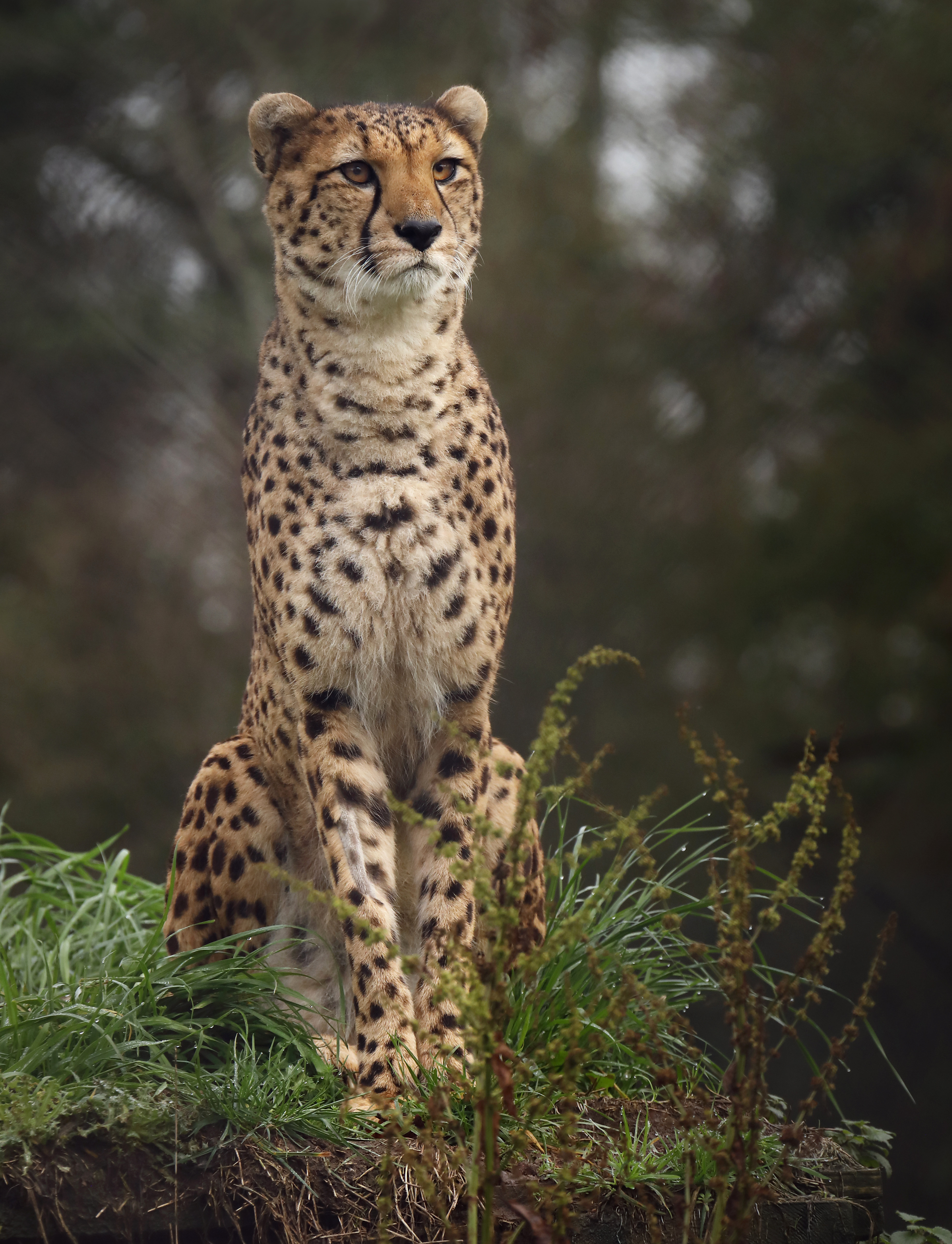 116270 download wallpaper Animals, Cheetah, Big Cat, Spotted, Spotty, Grass screensavers and pictures for free