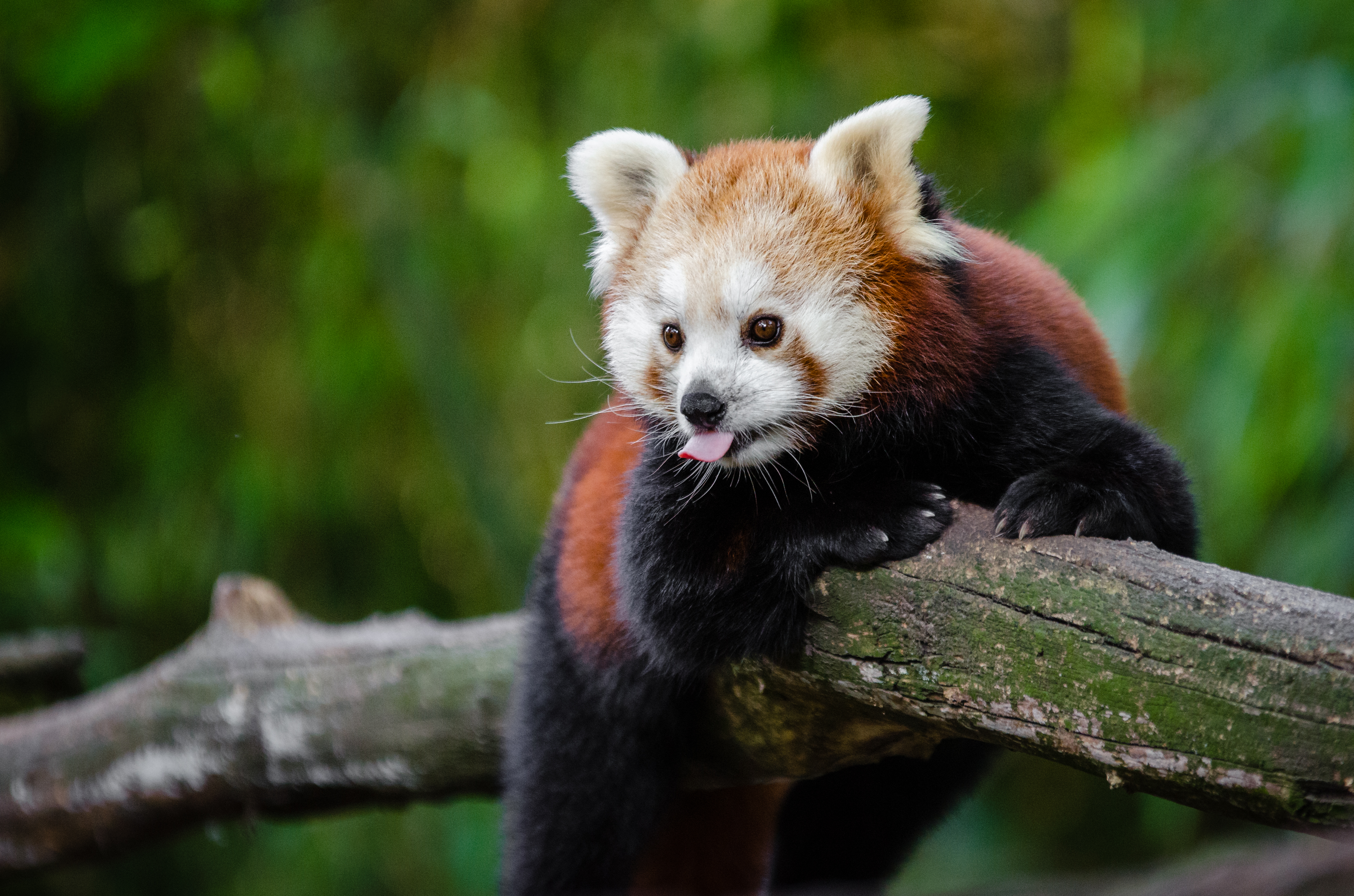 133911 download wallpaper Animals, Red Panda, Panda, Language, Tongue, Cool screensavers and pictures for free