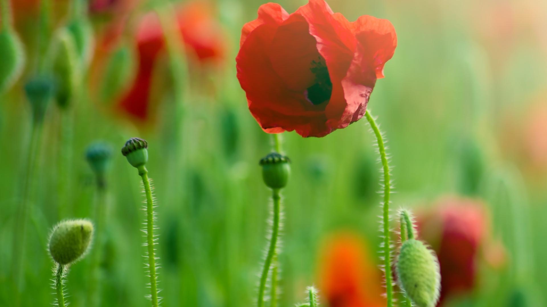 37609 скачать обои Растения, Цветы, Маки - заставки и картинки бесплатно
