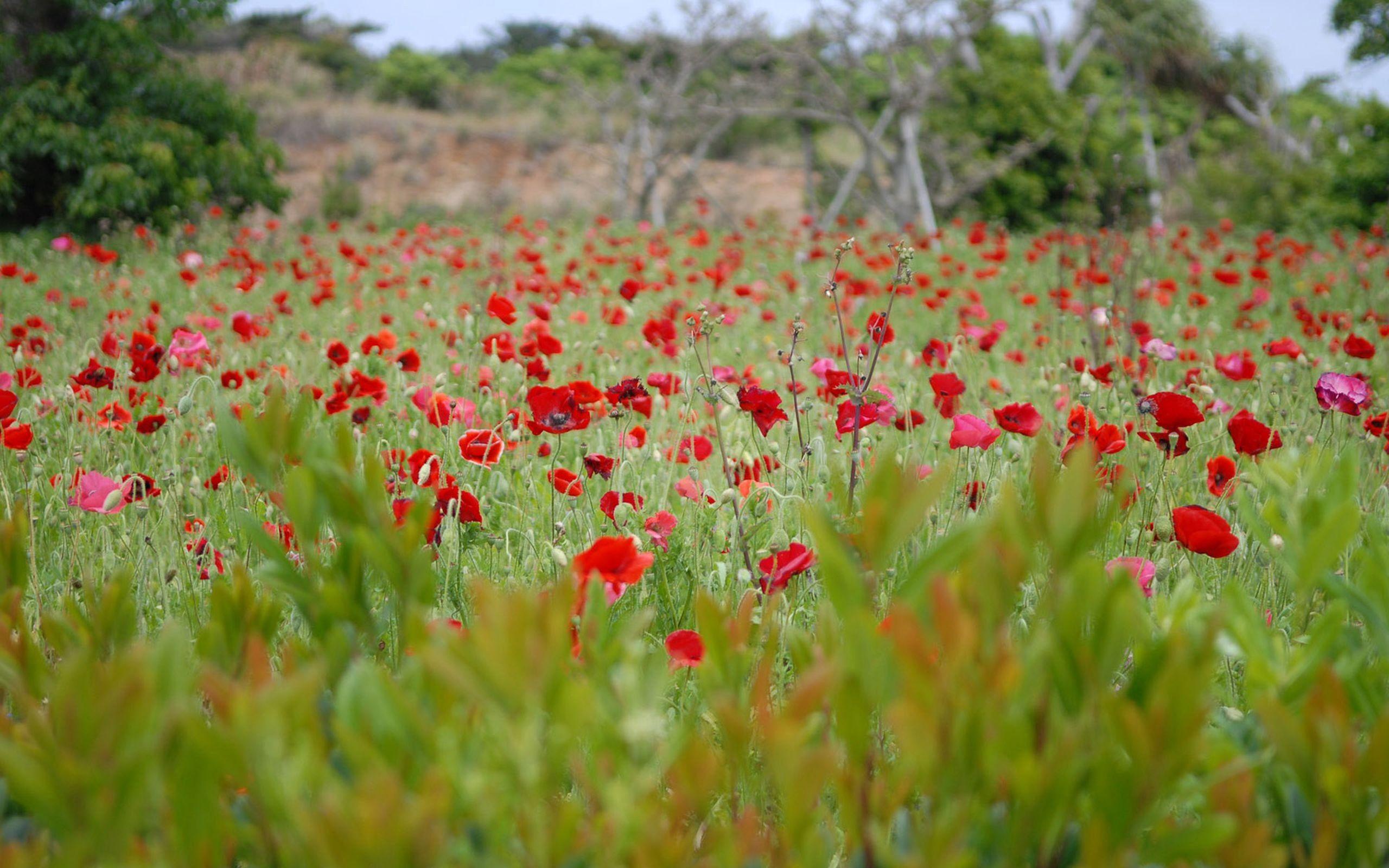 95239 скачать обои Природа, Маки, Поле, Трава, Цветы - заставки и картинки бесплатно
