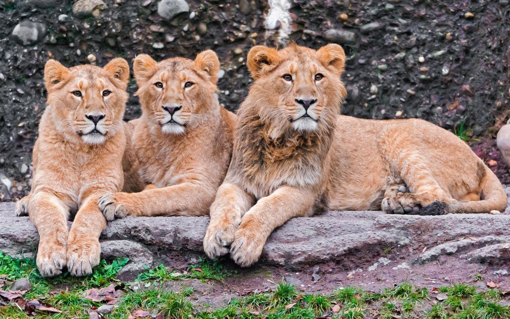91605 download wallpaper Animals, Predators, To Lie Down, Lie, Family, Lions screensavers and pictures for free