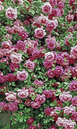 7243 descargar fondo de pantalla Plantas, Flores, Fondo, Roses: protectores de pantalla e imágenes gratis