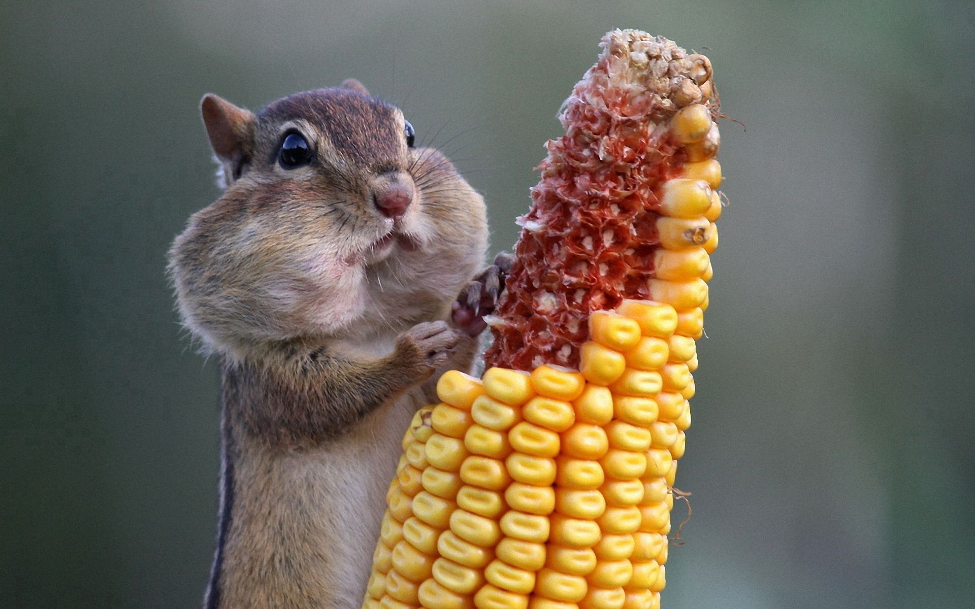 80934 download wallpaper Animals, Squirrel, Corn, Maize, Food screensavers and pictures for free
