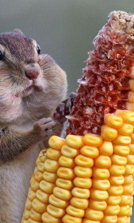 お使いの携帯電話の80934スクリーンセーバーと壁紙食品。 動物, リス, 栗鼠, トウモロコシ, 食品の写真を無料でダウンロード
