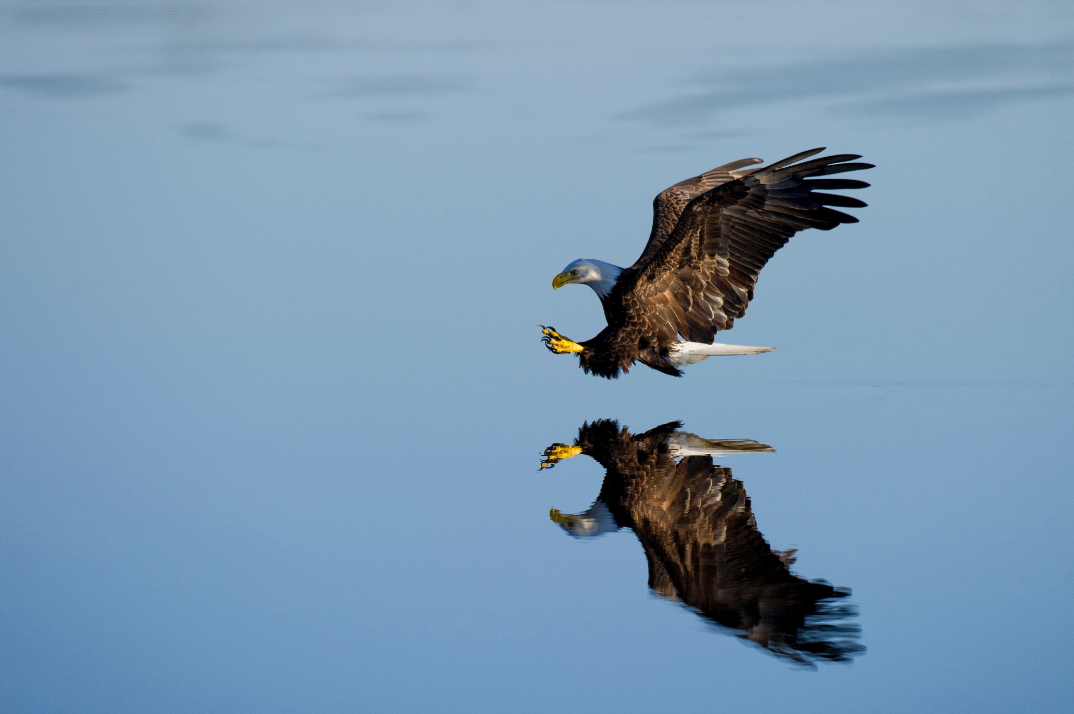 125854 Hintergrundbild herunterladen Tiere, Wasser, Reflexion, Vogel, Flug, Adler - Bildschirmschoner und Bilder kostenlos