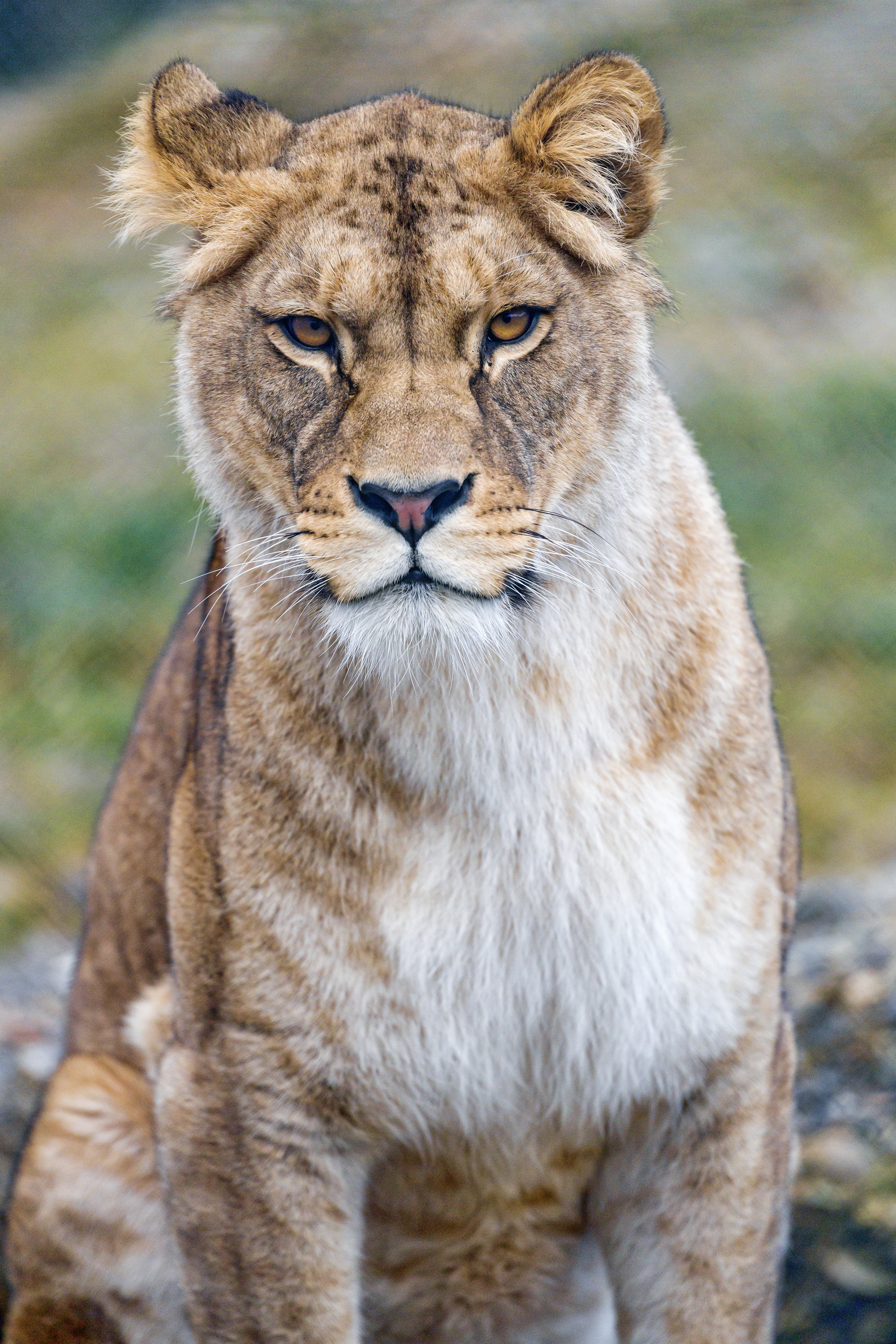 135155 download wallpaper Animals, Lioness, Predator, Sight, Opinion, Big Cat screensavers and pictures for free
