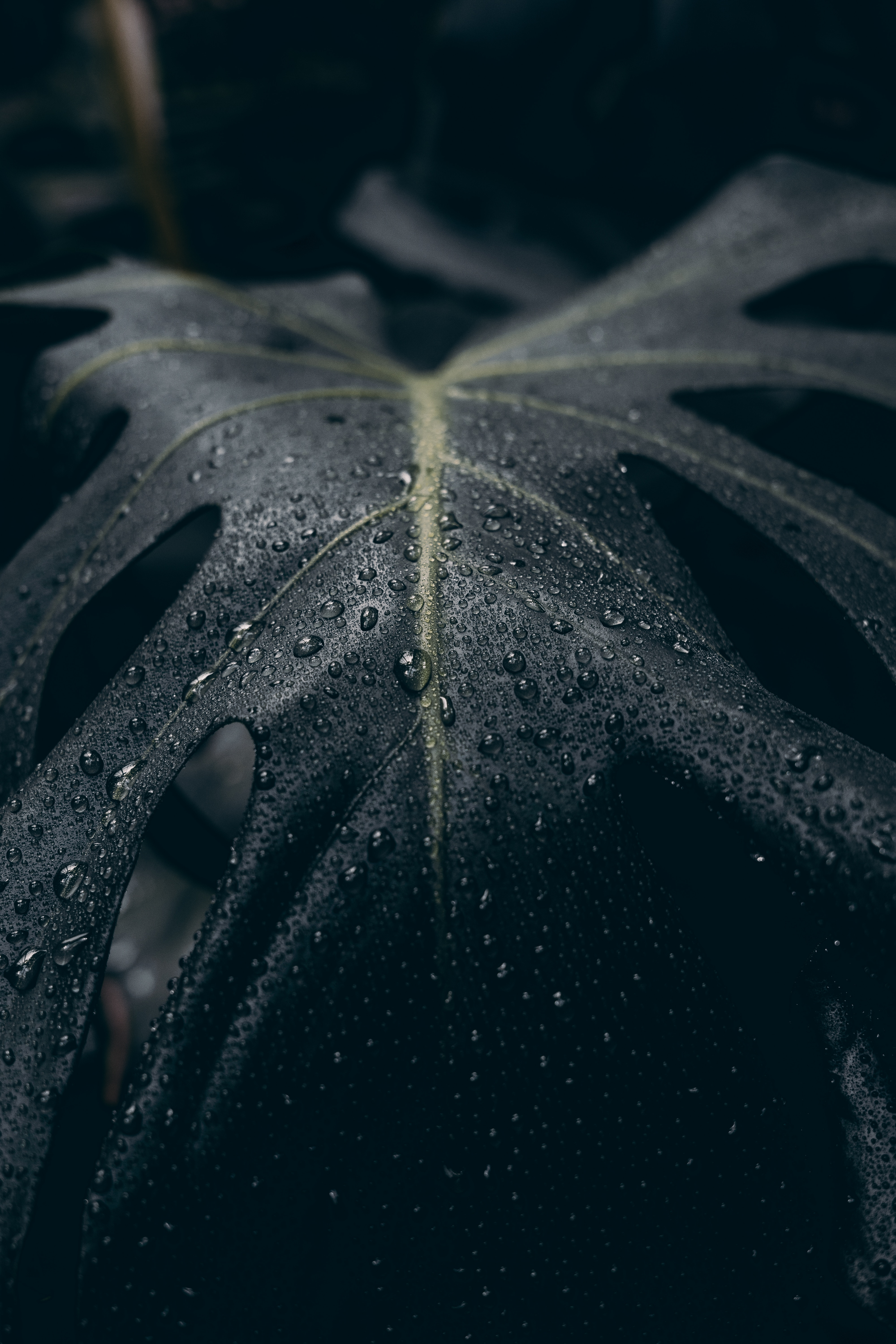 148280 download wallpaper Macro, Leaflet, Drops, Surface, Dark screensavers and pictures for free