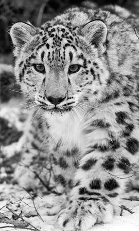 84548 download wallpaper Animals, Snow, Hunting, Hunt, Mindfulness, Attentiveness, Bw, Chb, Snow Leopard screensavers and pictures for free