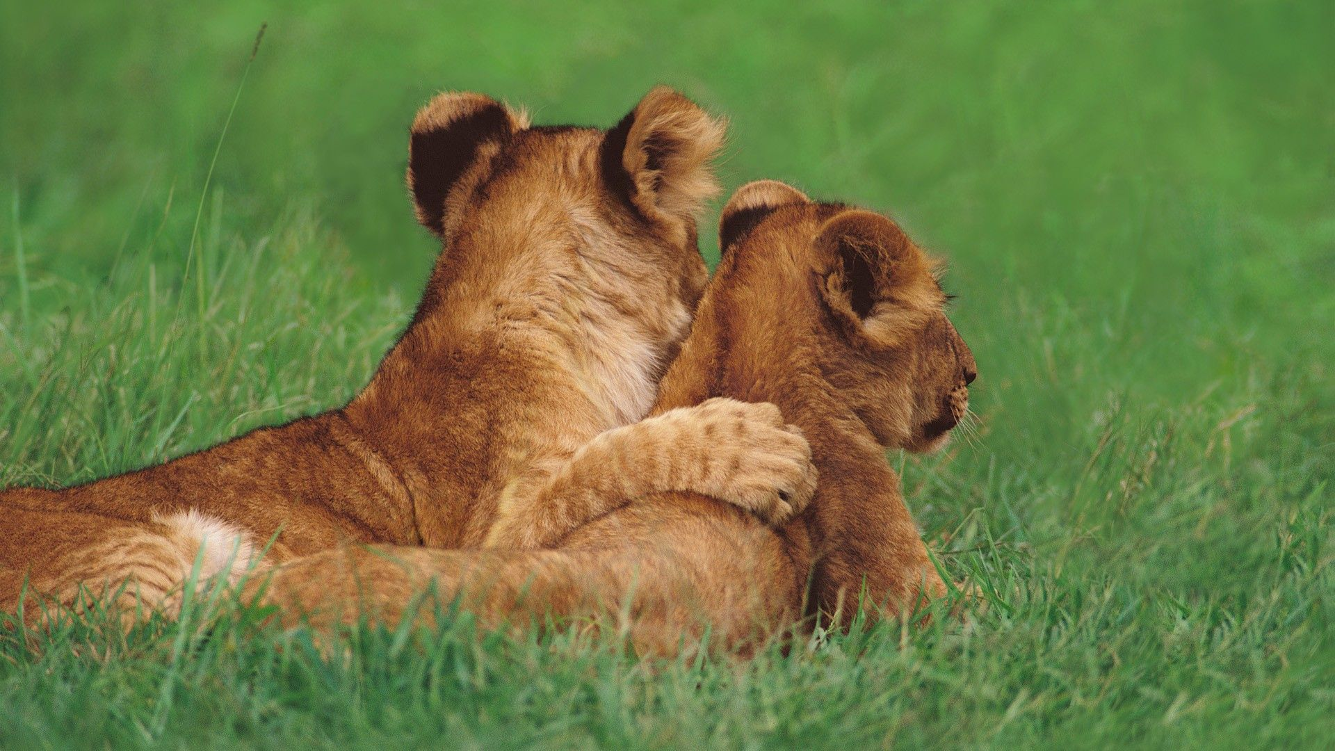 119832 download wallpaper Animals, Couple, Pair, Young, Grass, To Lie Down, Lie, Lions screensavers and pictures for free
