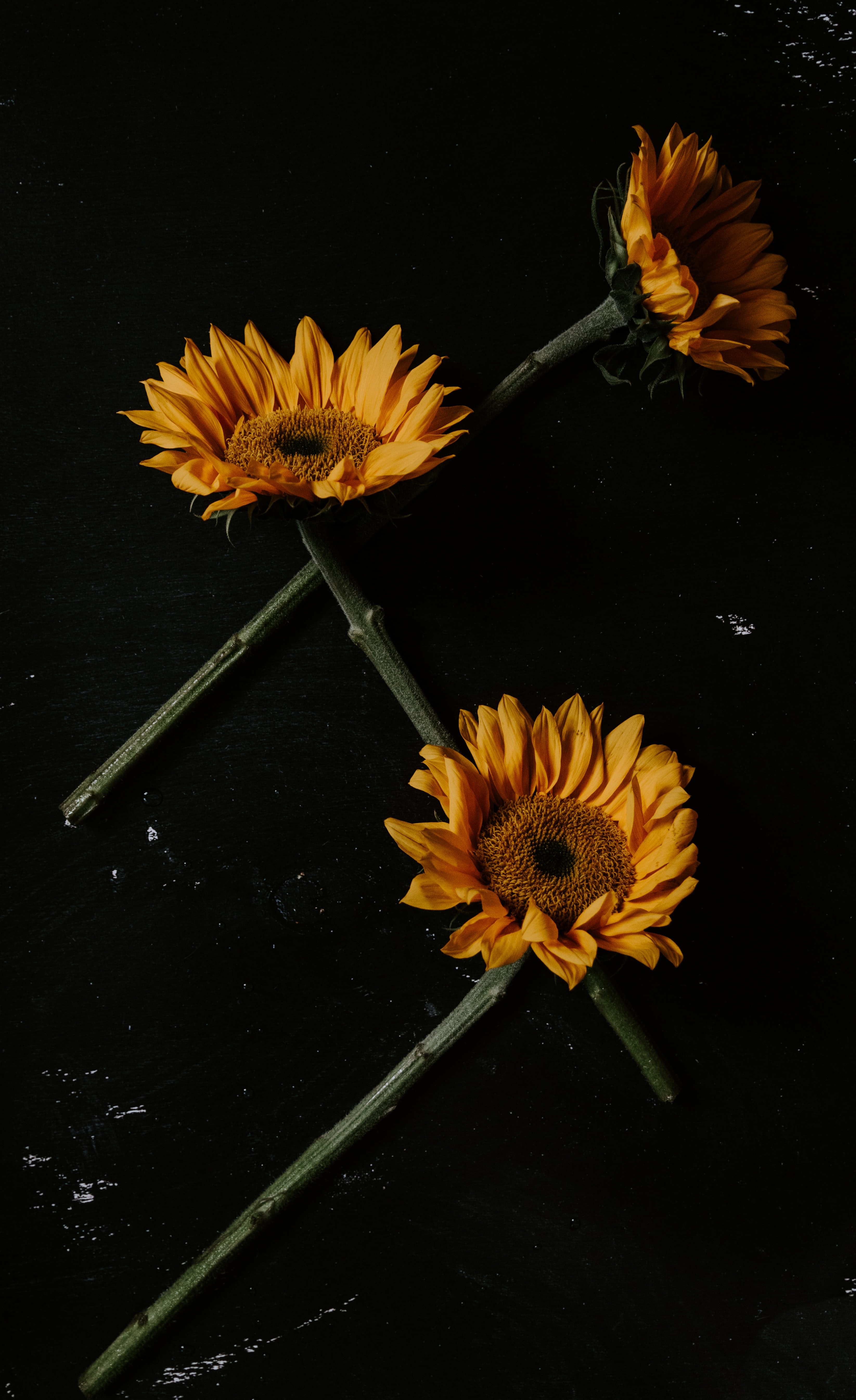 78550 скачать обои Цветы, Лепестки, Черный, Подсолнухи - заставки и картинки бесплатно
