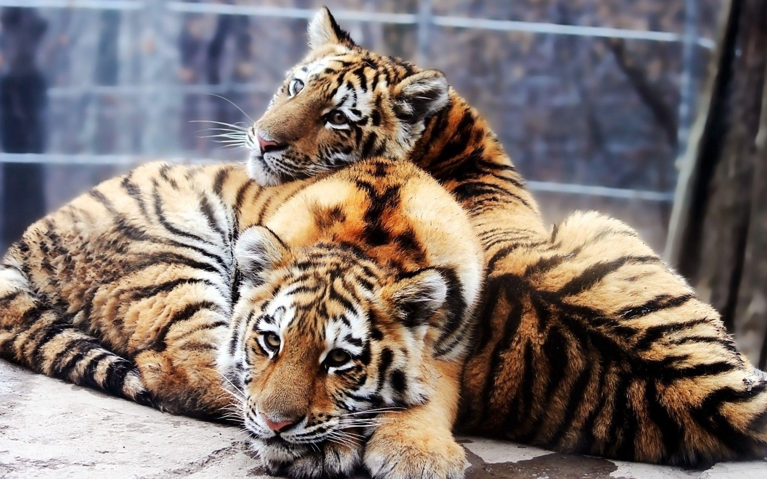 143057壁紙のダウンロード動物, カップル, 双, カブス, 若い, 横になります, 嘘, 阪神タイガース-スクリーンセーバーと写真を無料で